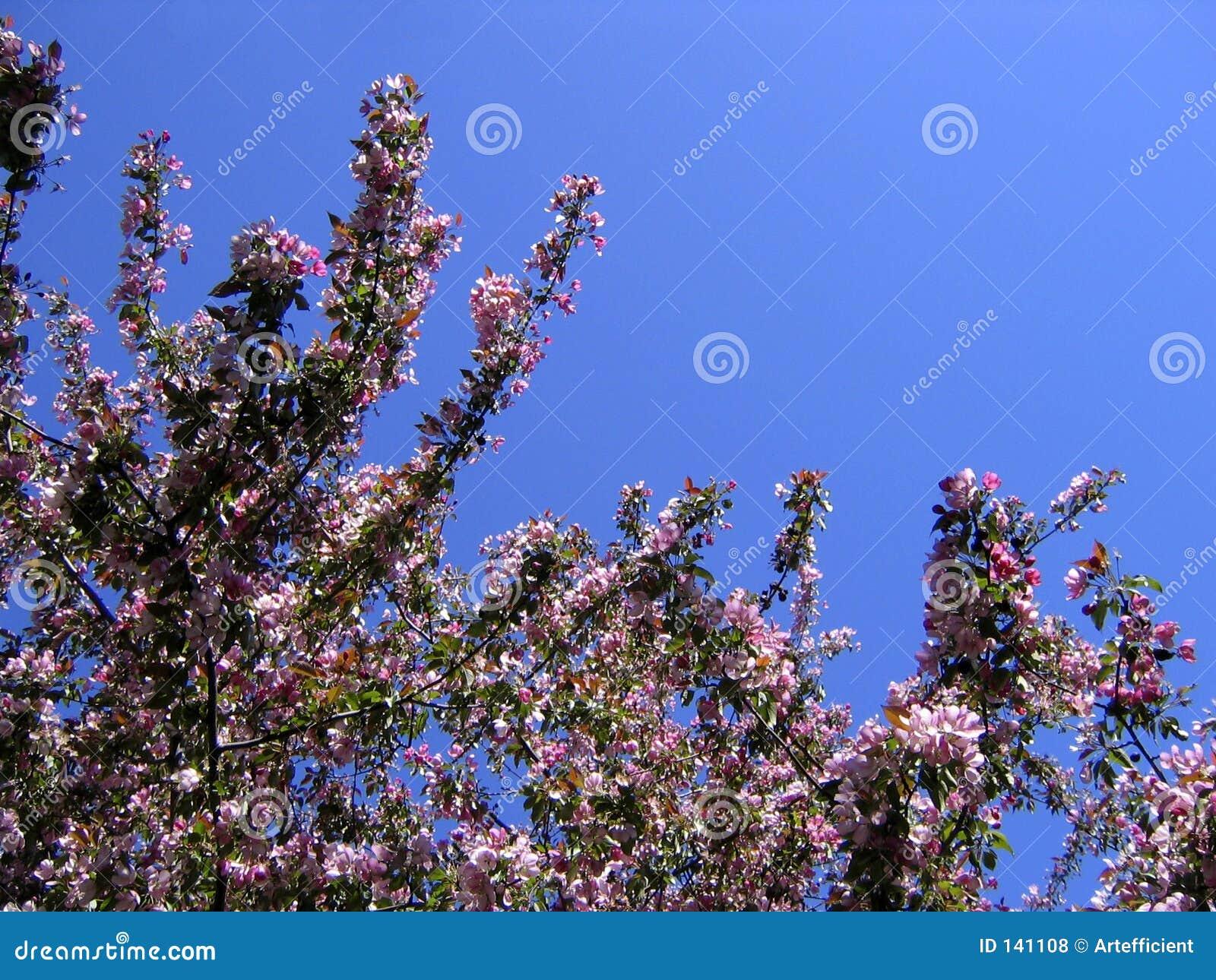 Kwiat jabłkowy wiosenne pocztówkowy drzewo