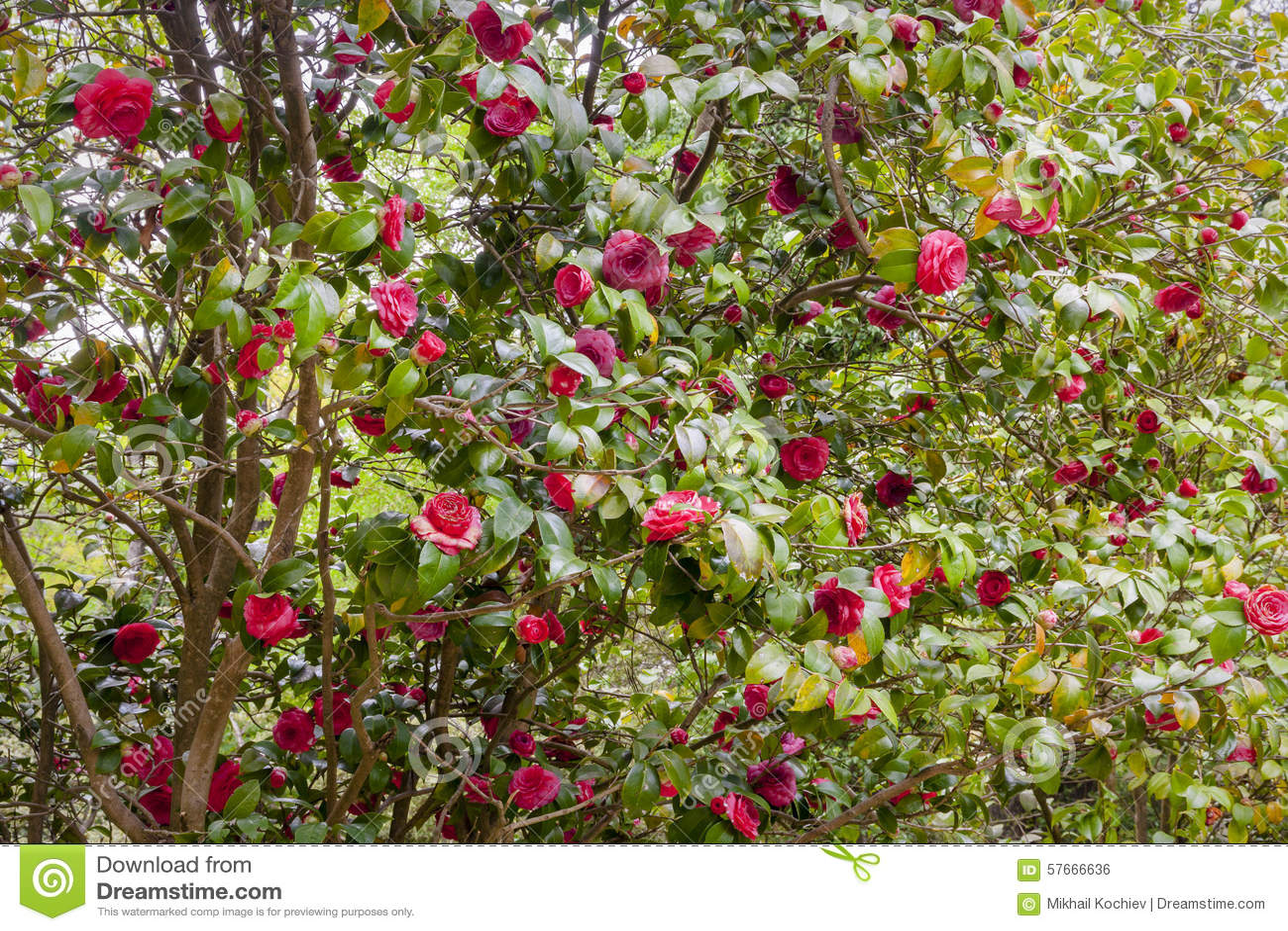 Kwiat kamelii japonica