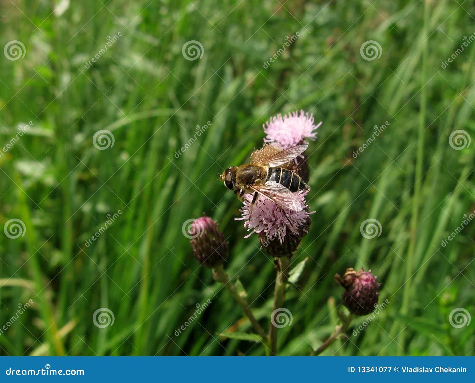 Kwiat komarnica
