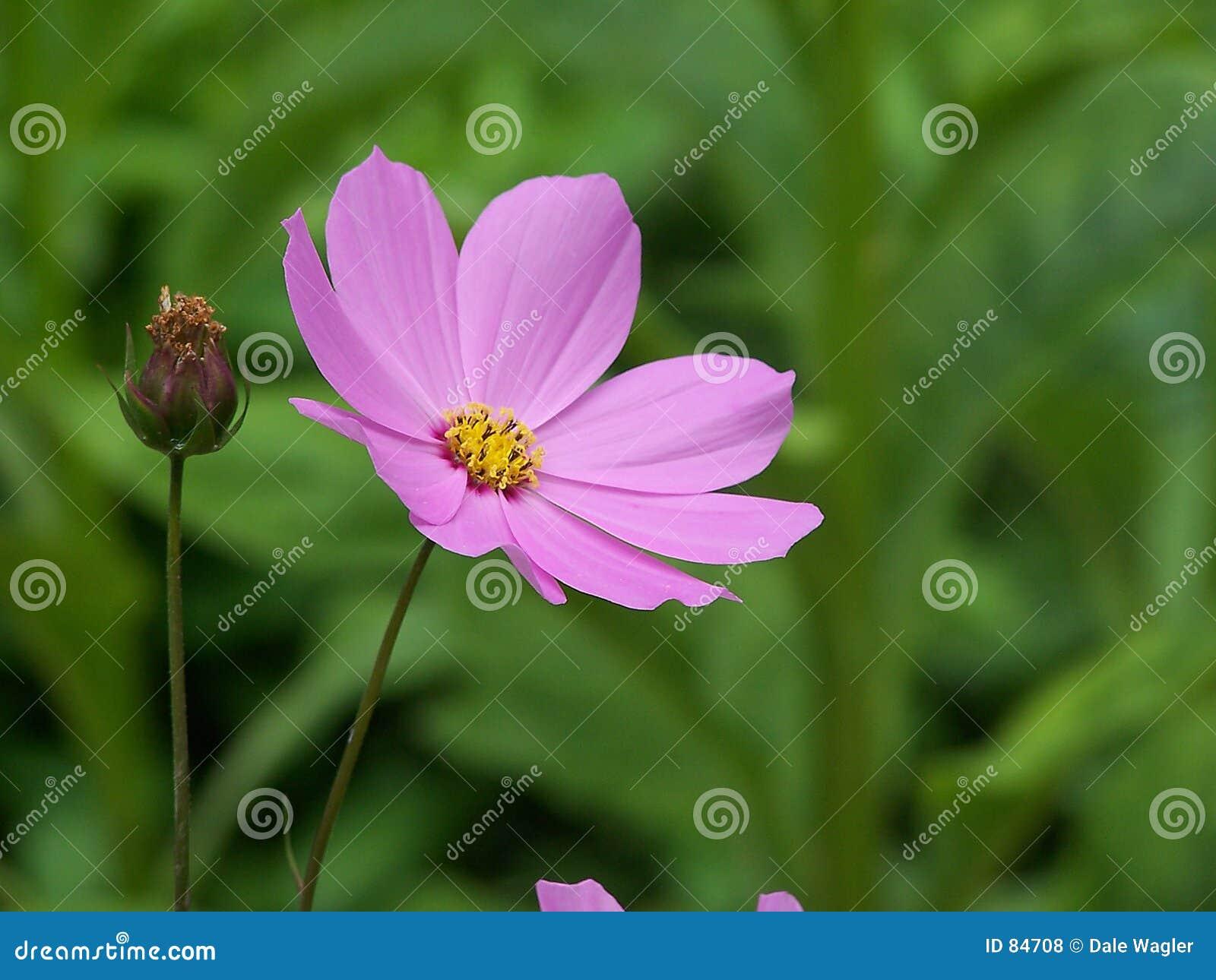 Kwiat kosmosu