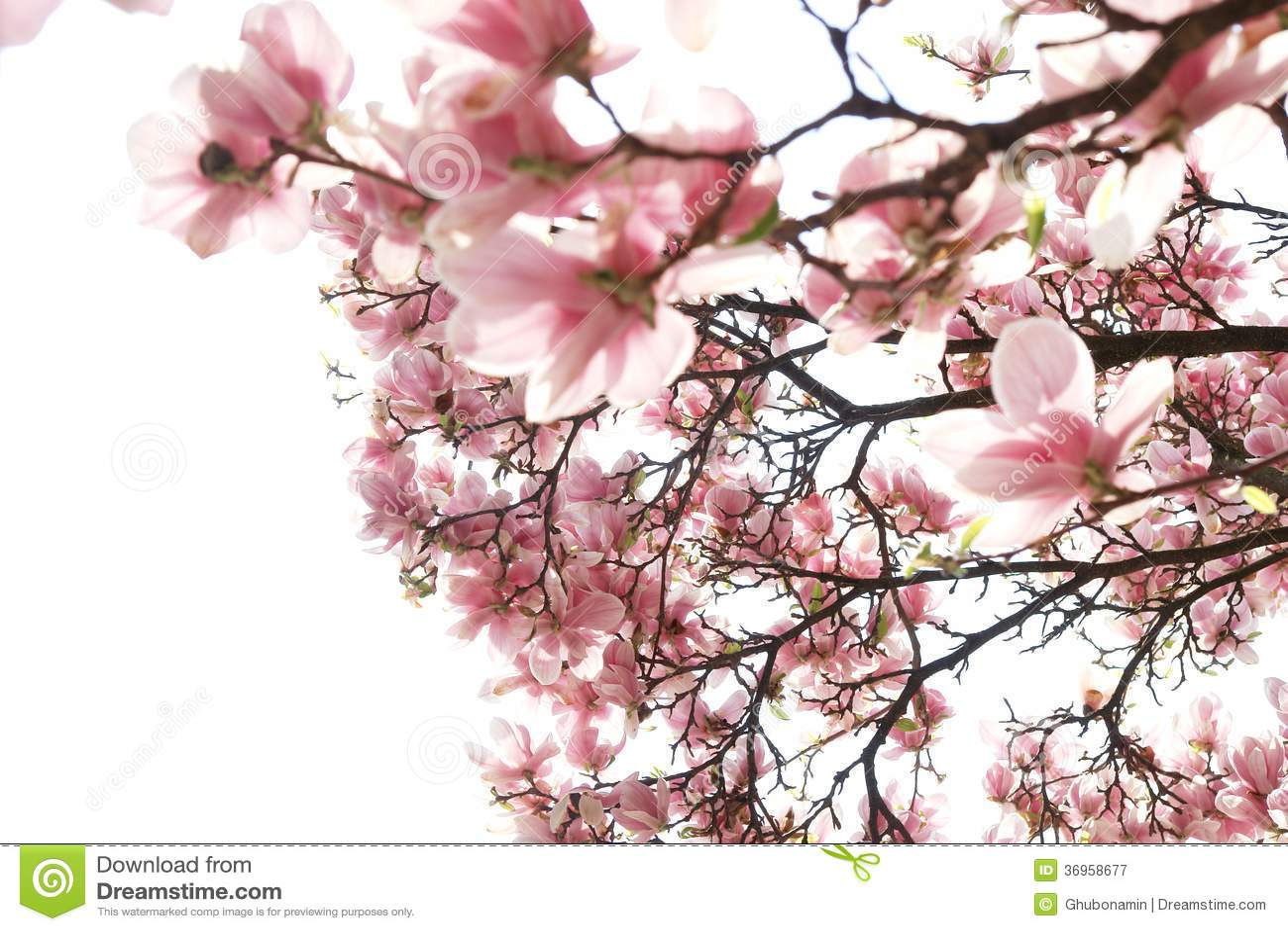 Kwiat magnolia