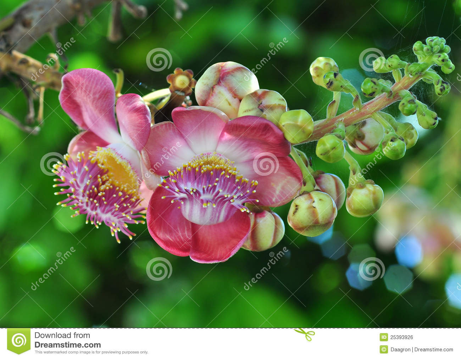 Kwiat menchie