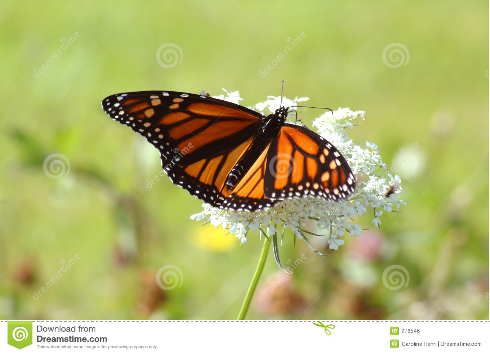 Kwiat monarchiczny white