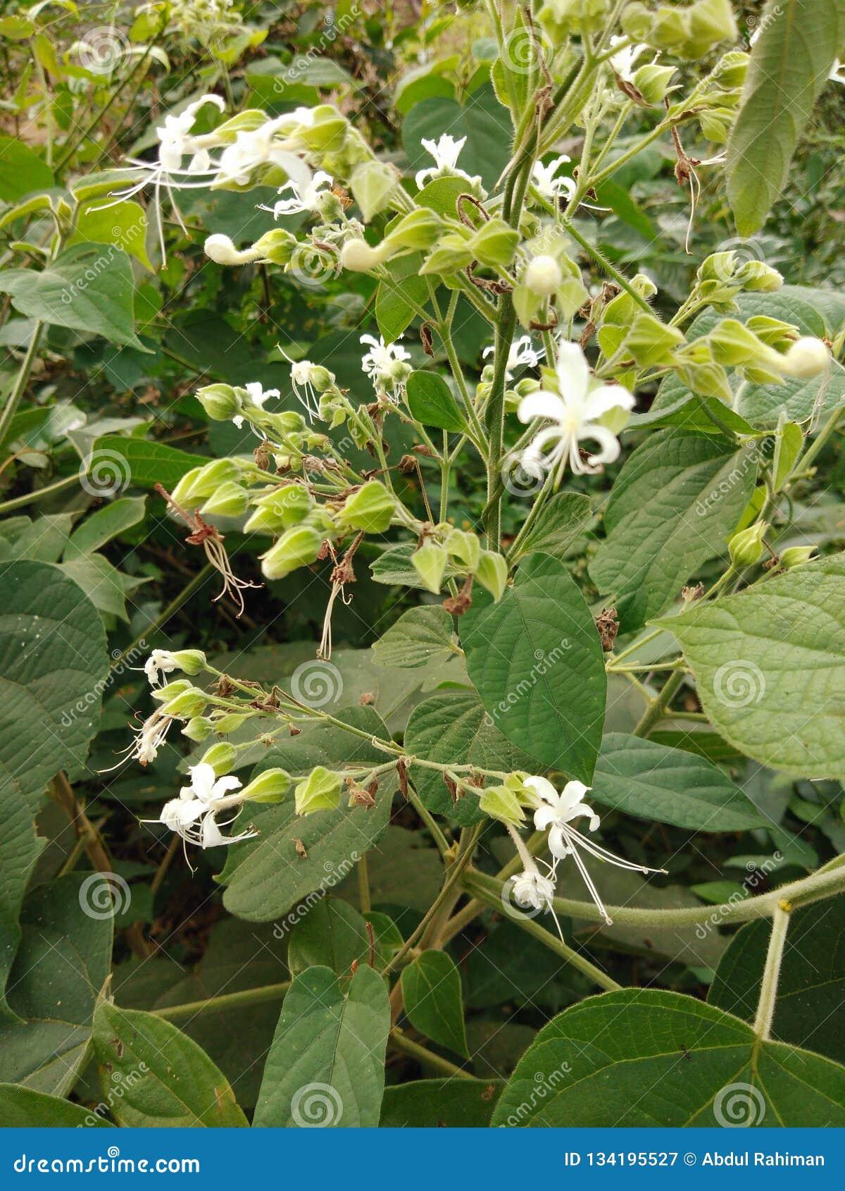 Kwiat piękny w indu Kerala malappuram