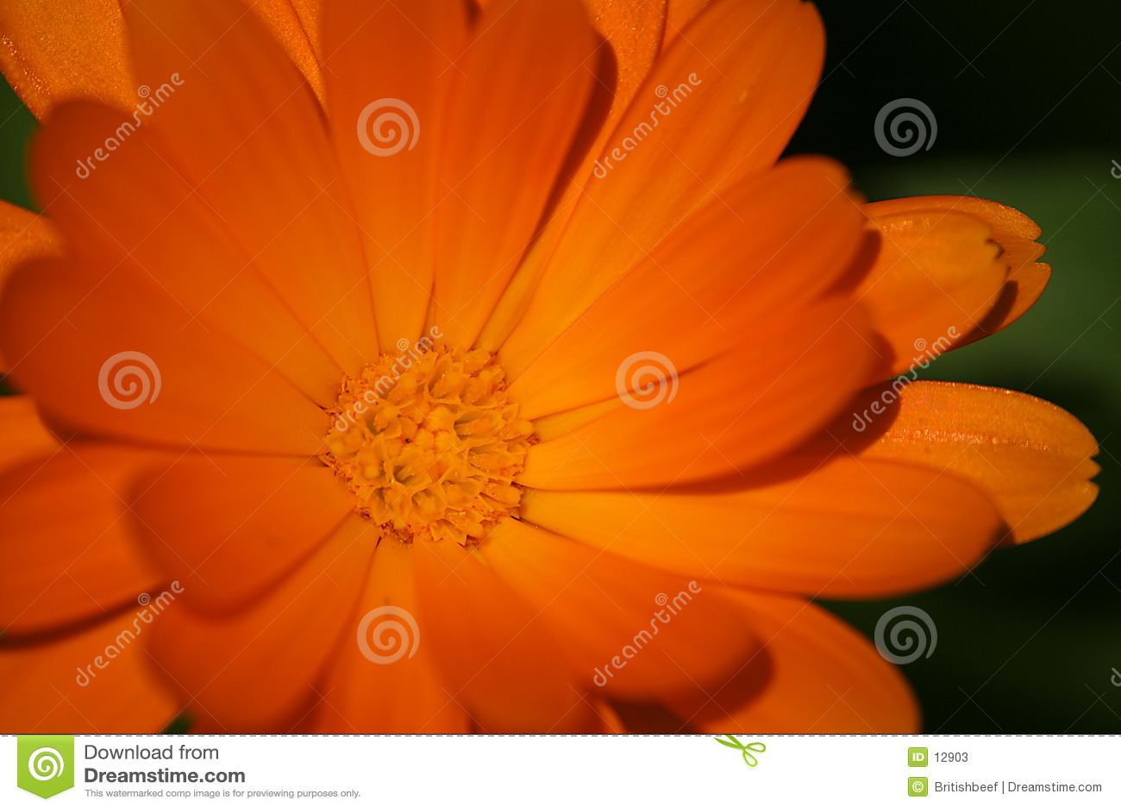 Kwiat pomarańczy