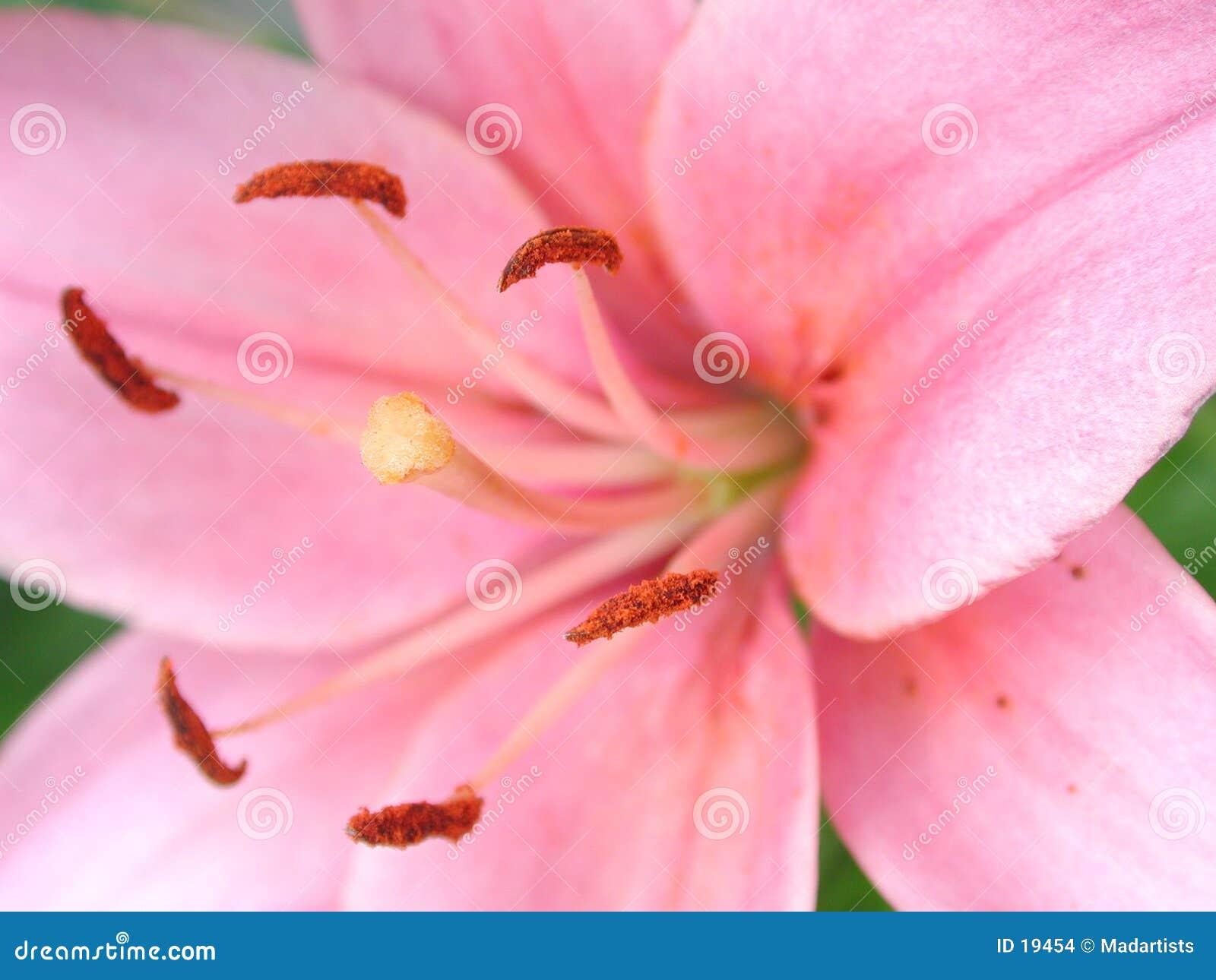 Kwiat prawdziwy różowego tło