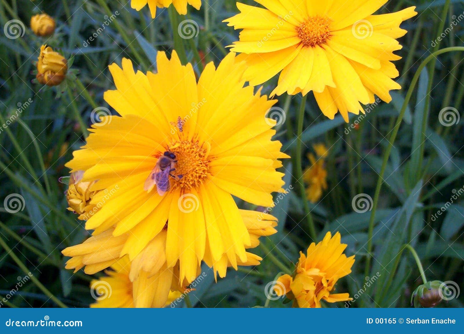 Kwiat pszczoły żółty