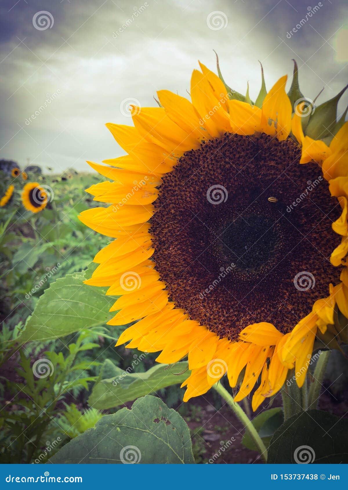 Kwiat pszczo?y pola centralnego lata p