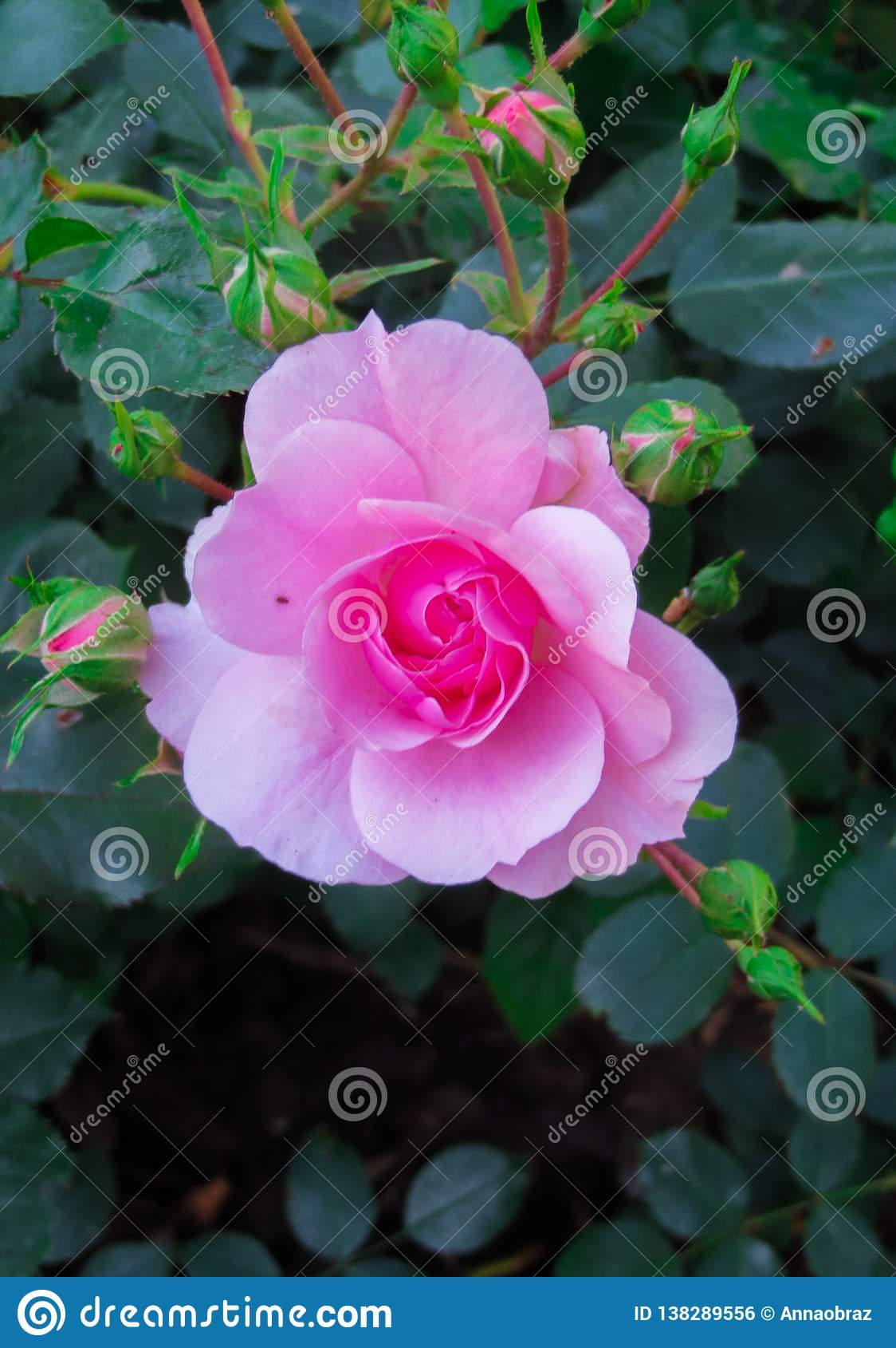 Kwiat różowi różanego na gałąź w ogródzie