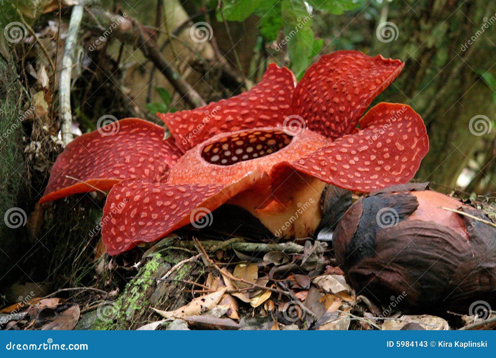 Kwiat rafflesia duży świat