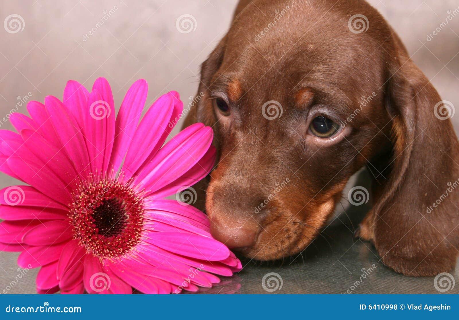 Kwiat szczeniak