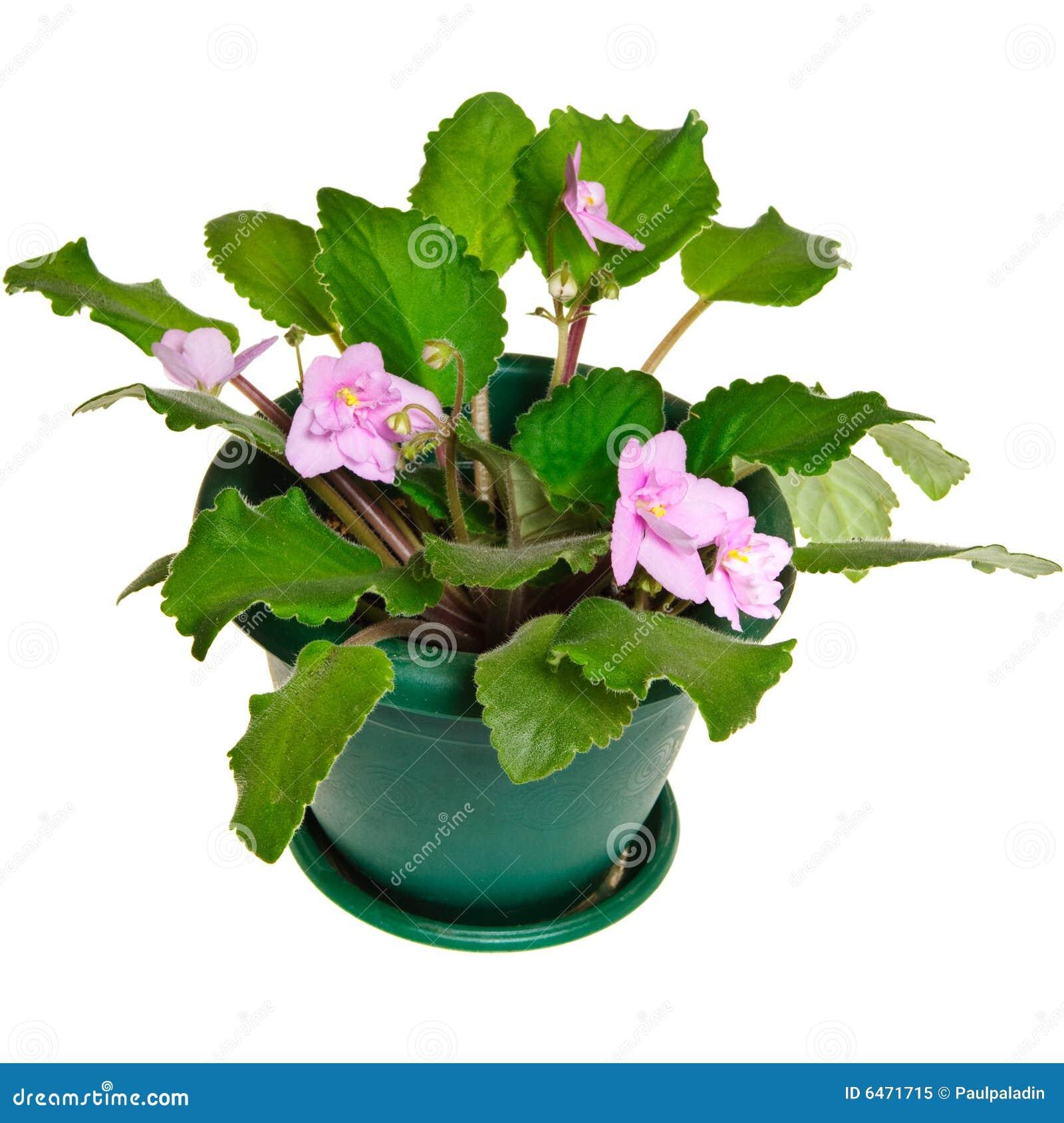 Kwiat violet trawy