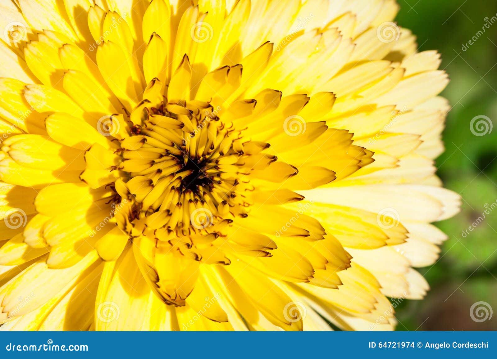 Kwiat z żółtymi płatkami, makro- szczegółowy rysunek kwiecisty pochodzenie wektora