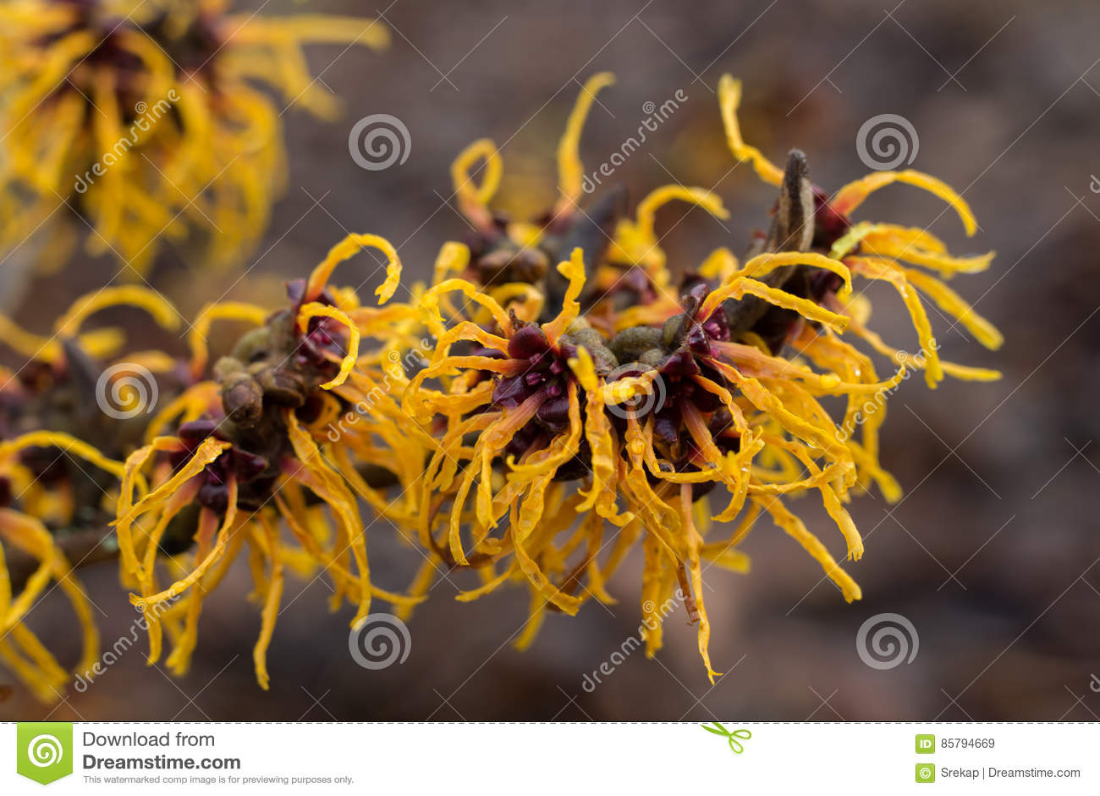 Kwiatonośna Chińska czarownicy leszczyna