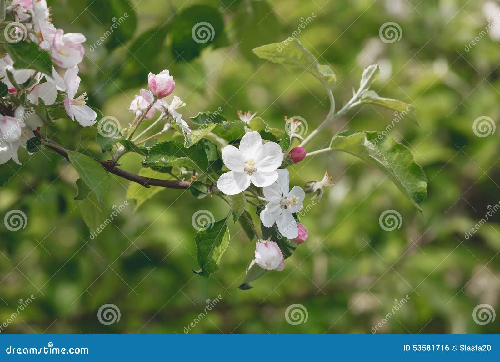 Kwiatonośna jabłoń na jaskrawym wiosna dniu