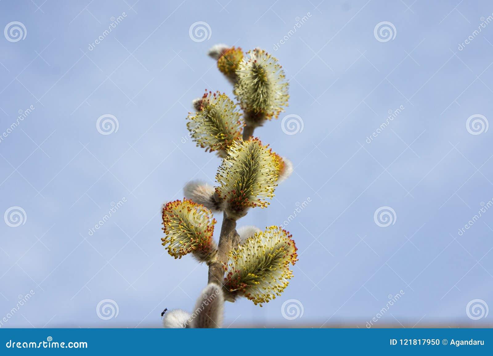 Kwiatonośni wierzba pączki kwitnący fartuch