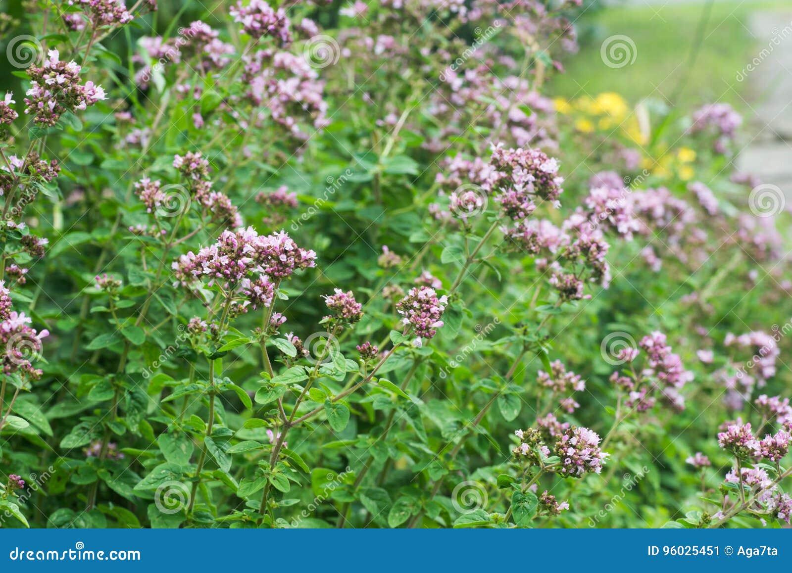 Kwiatonośny oregano w ogrodowej selekcyjnej ostrości