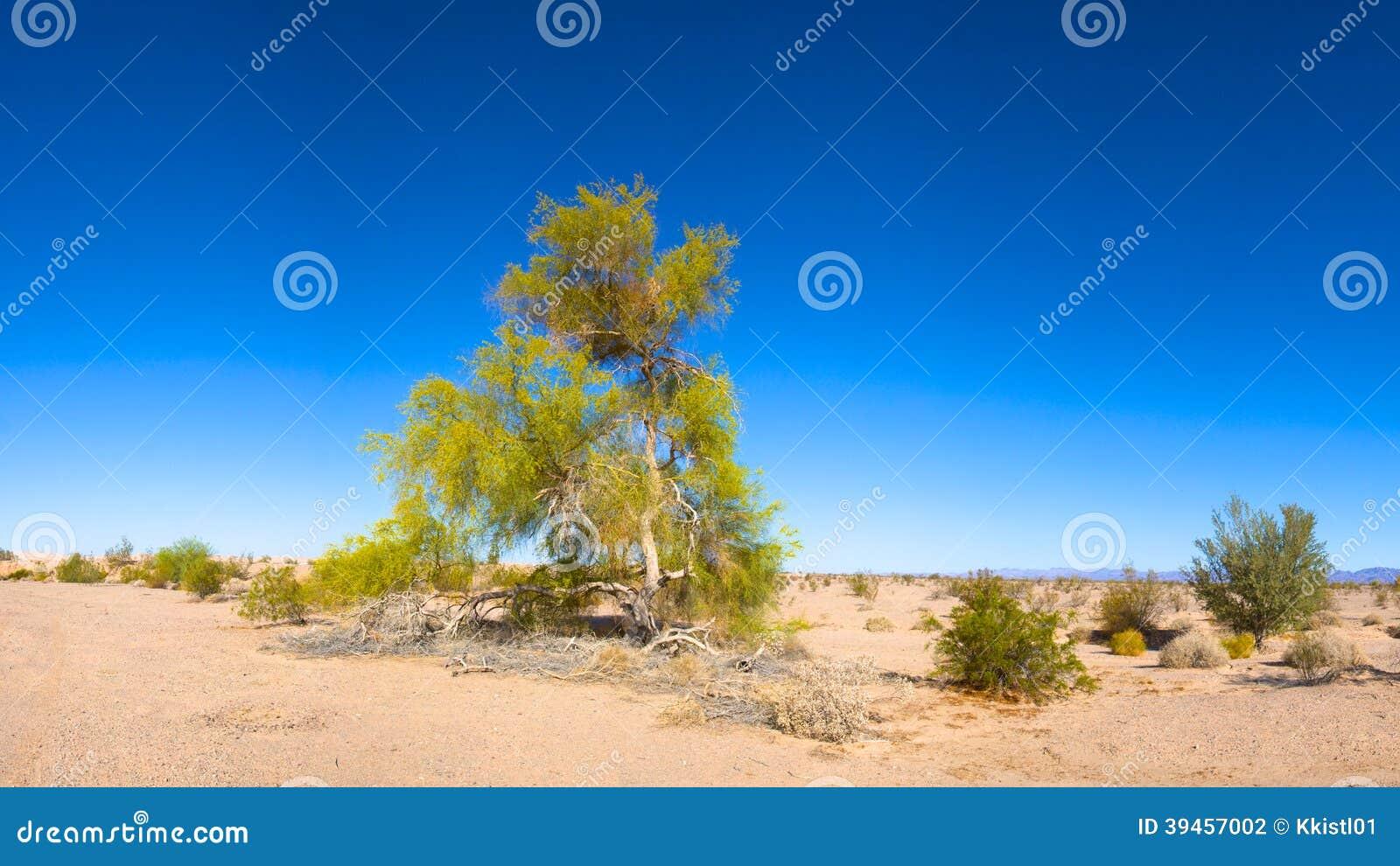 Kwiatonośny Pustynny drzewo