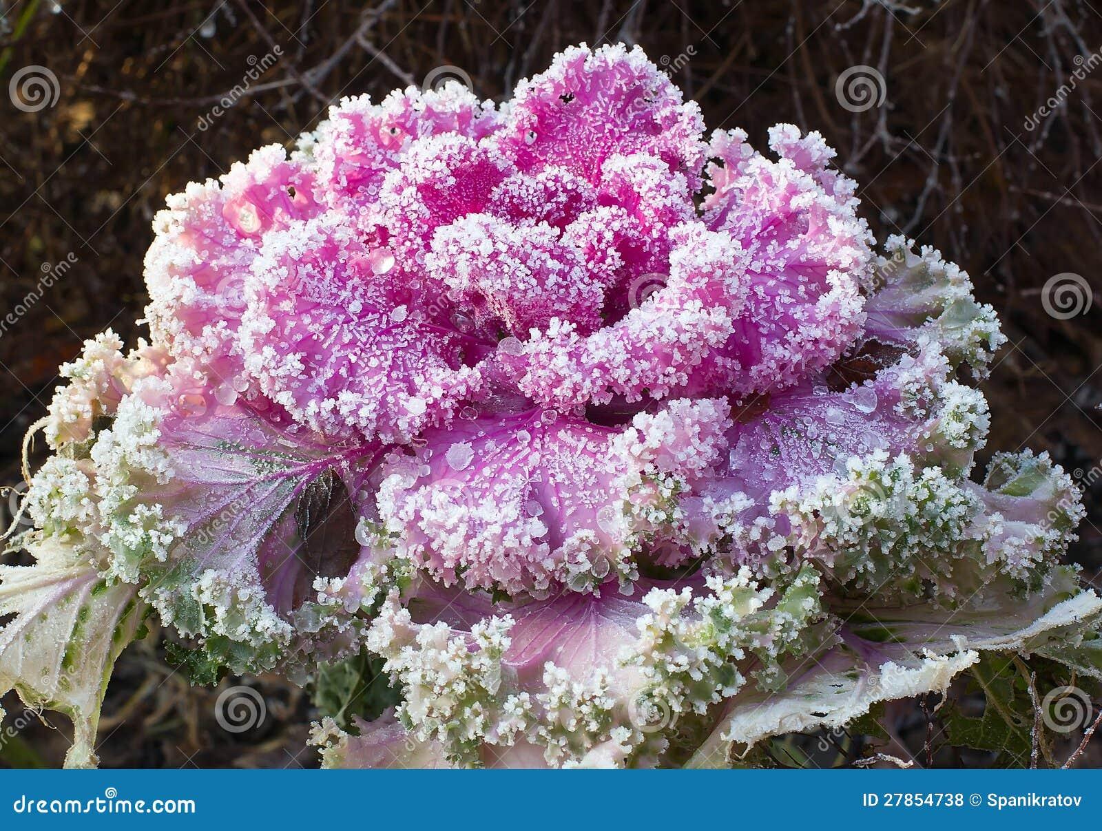 Kwiatostanu ornamental kapusta