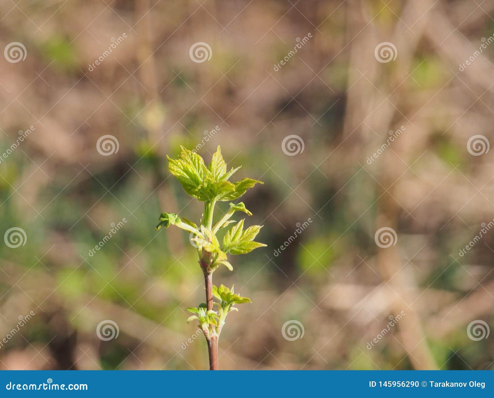 Kwiatu amerykanina klon M?odzi li?cie drzewo It& x27; s wiosna