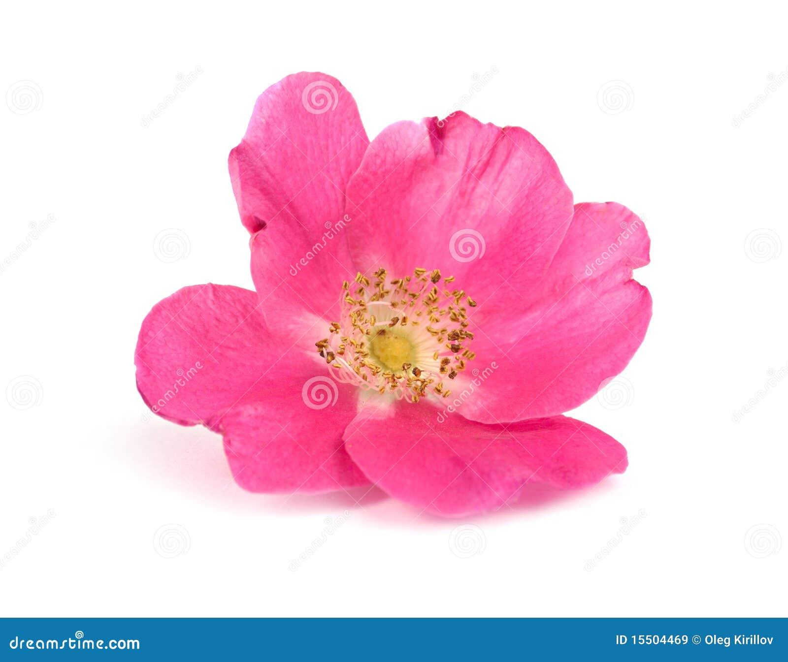 Kwiatu ampuły menchii róża dzika