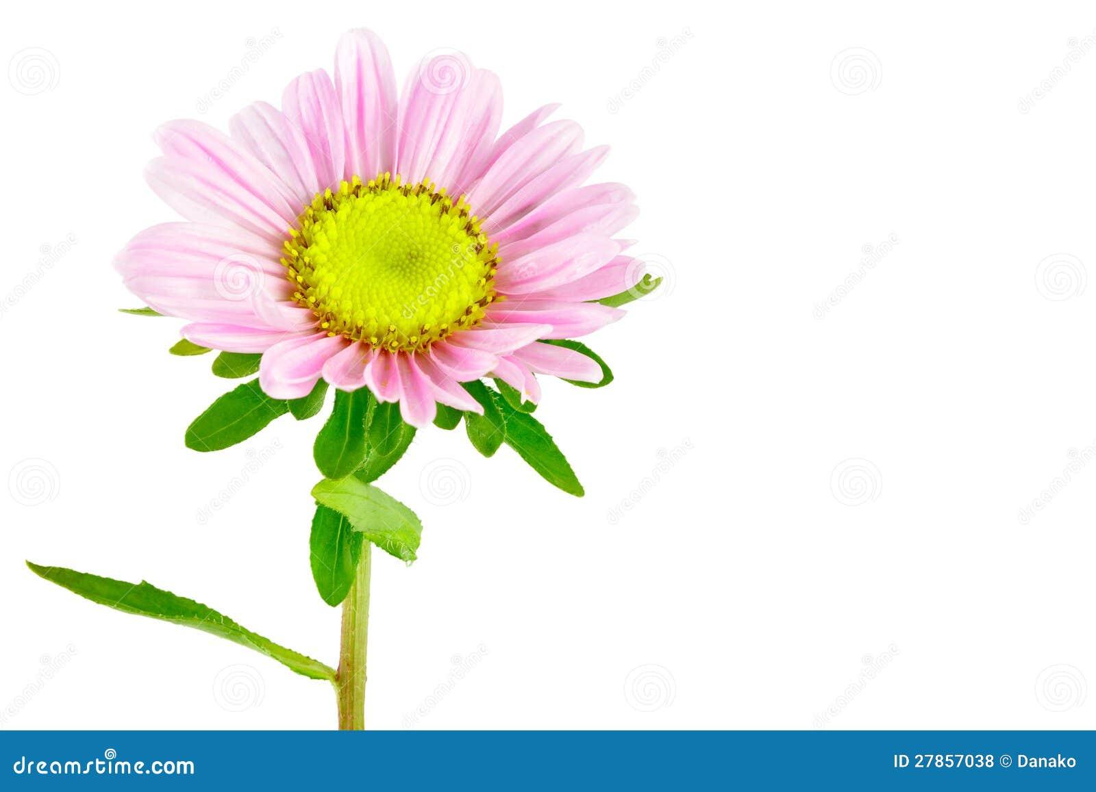 Kwiatu Aster