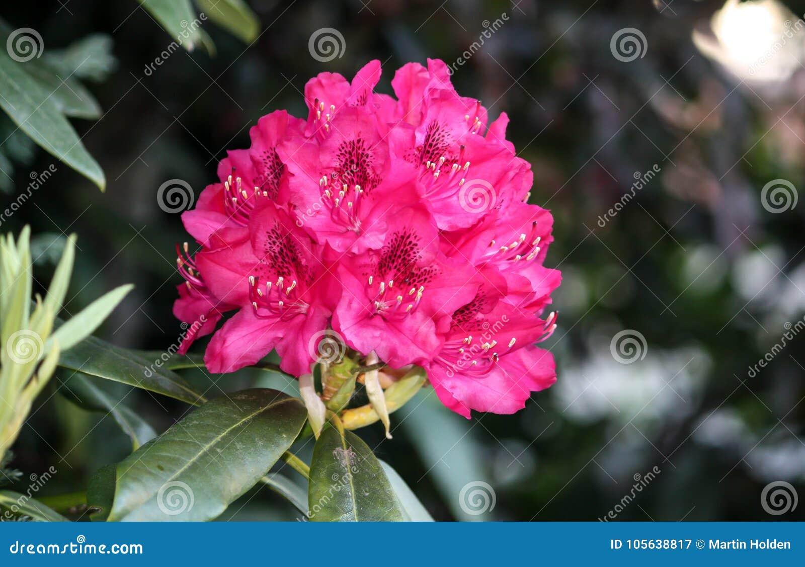 Kwiatu blask menchie w lecie