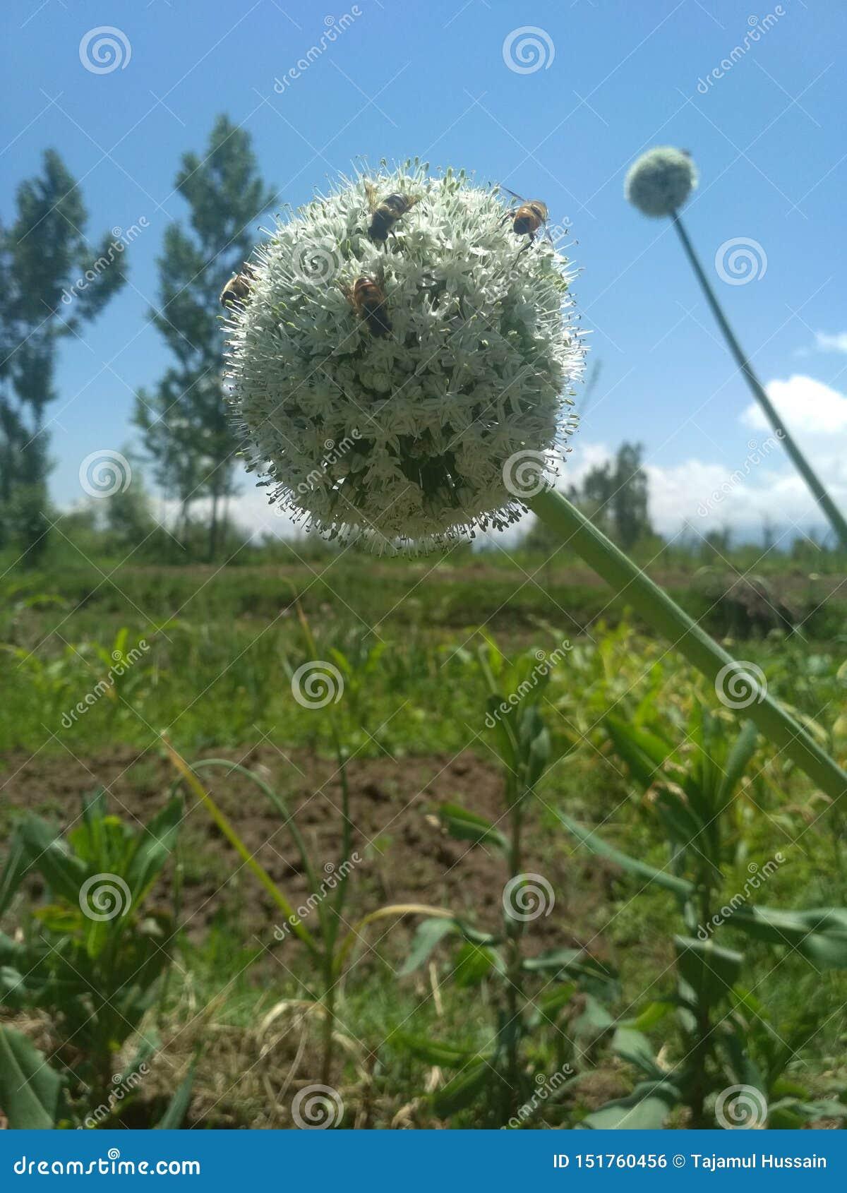 Kwiatu cebuli ziarno