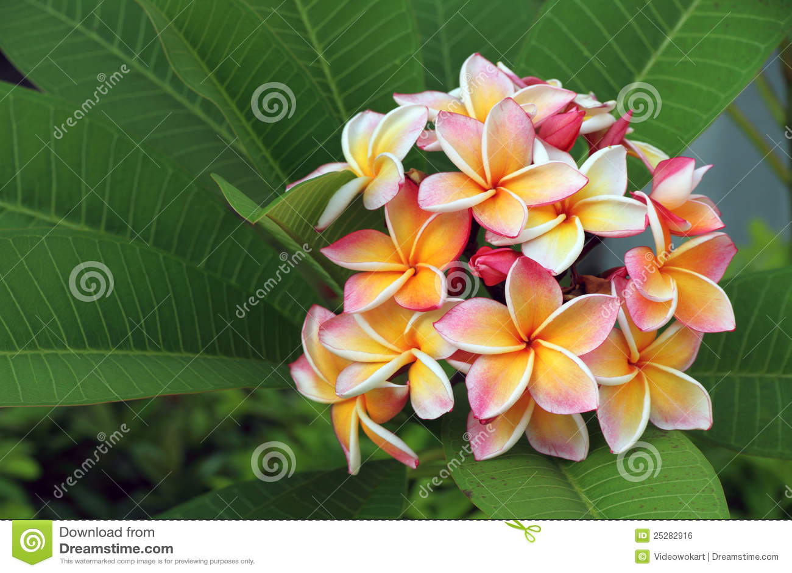 Kwiatu frangipani plumeria