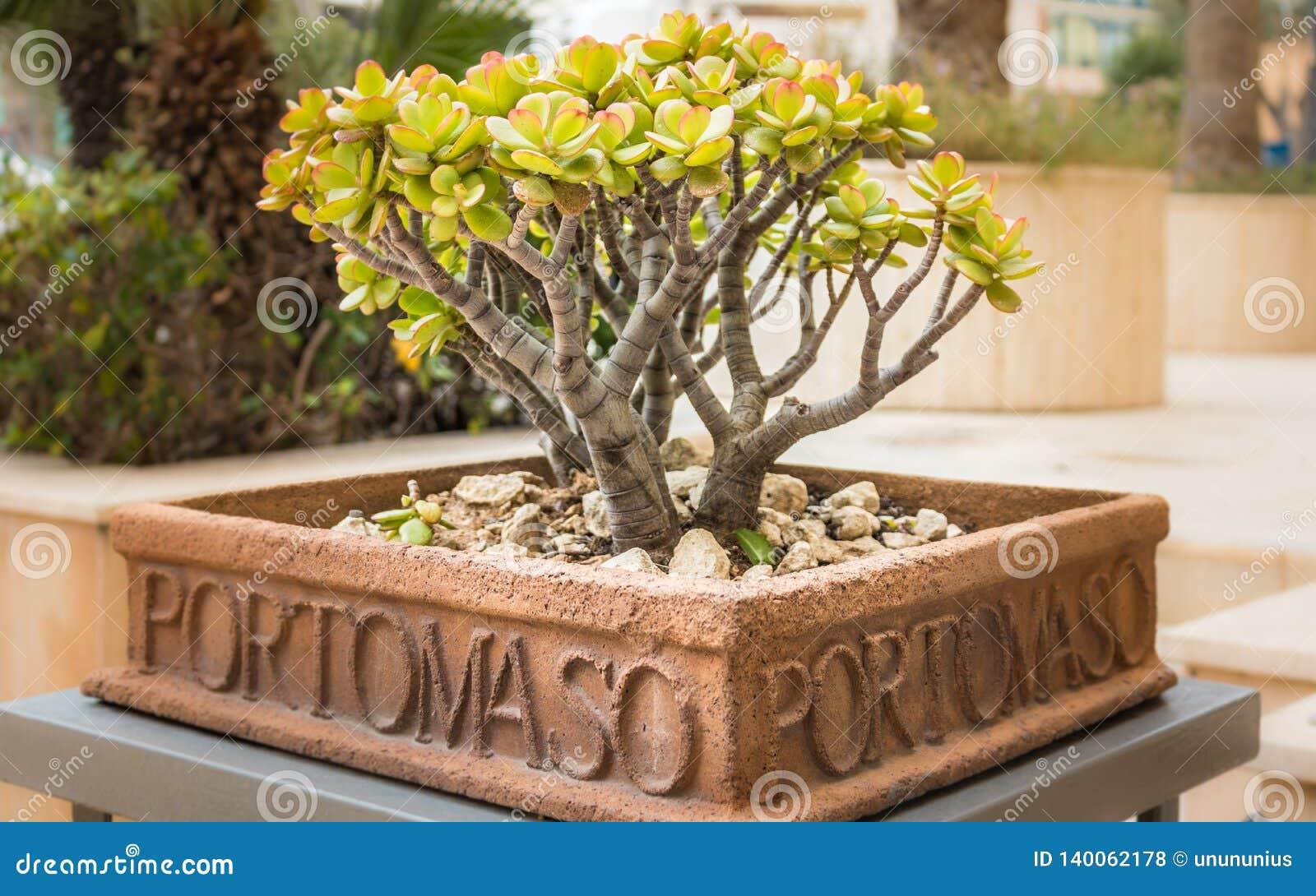 Kwiatu garnek piszący list z portomaso zawiera małego, zielonego drzewa wśrodku, Malta
