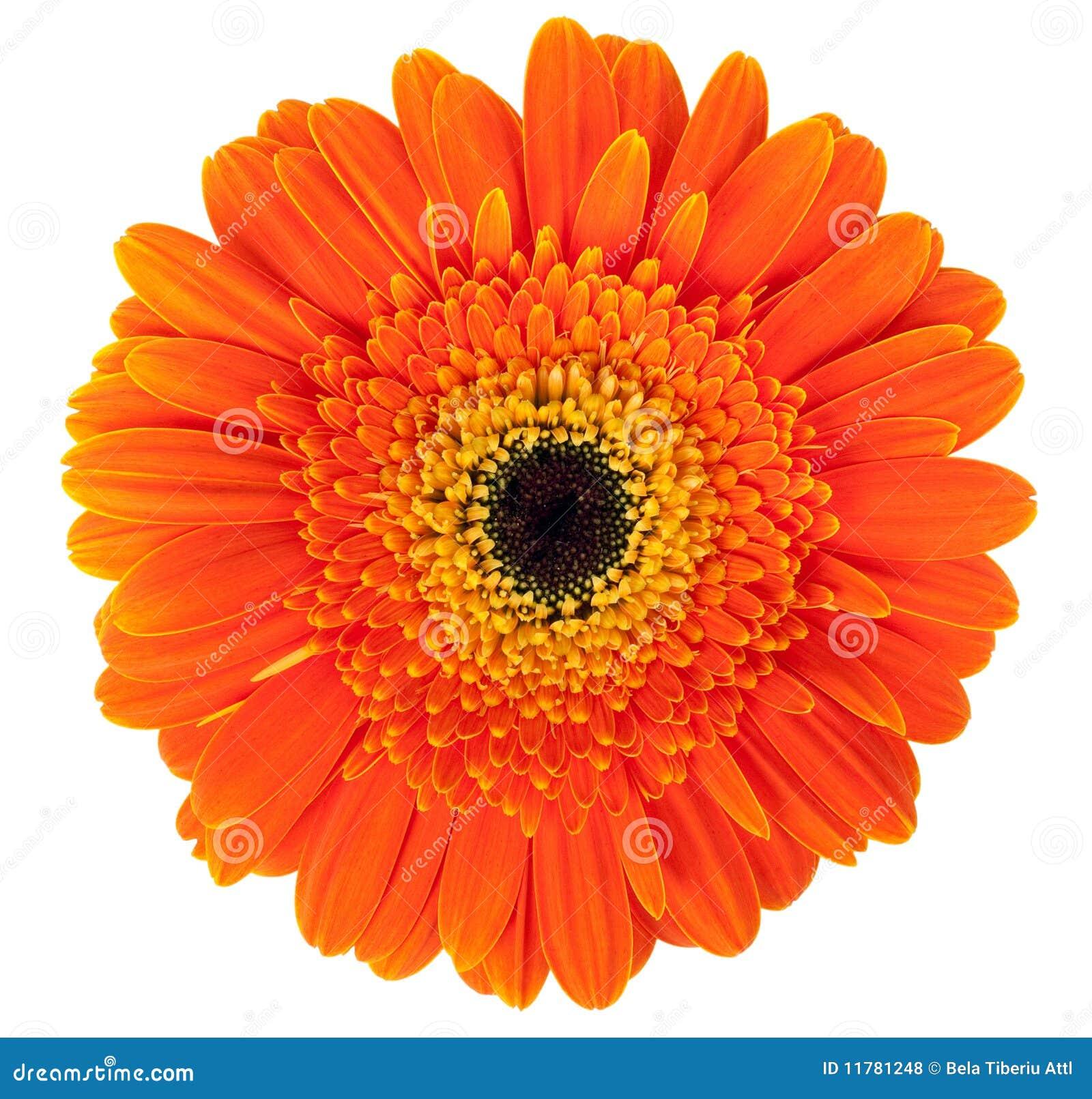 Kwiatu gerber