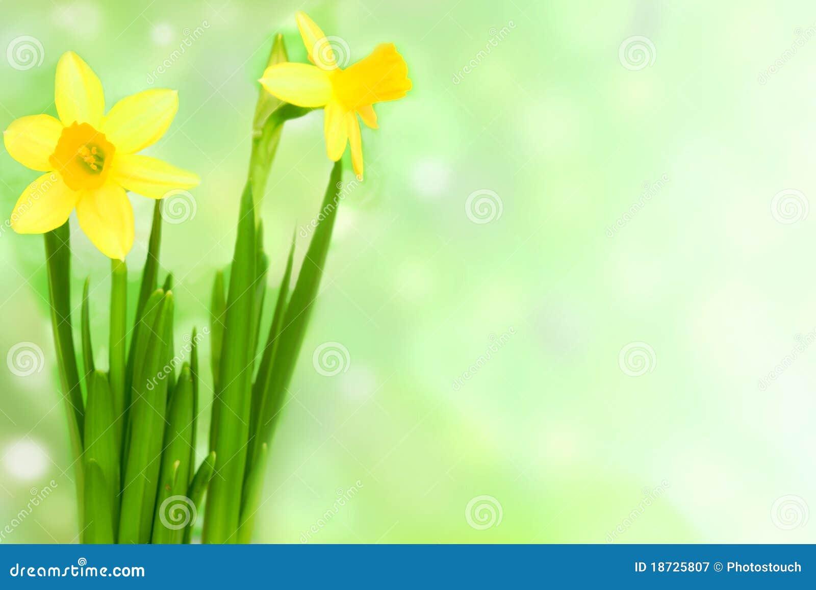 Kwiatu jonquil