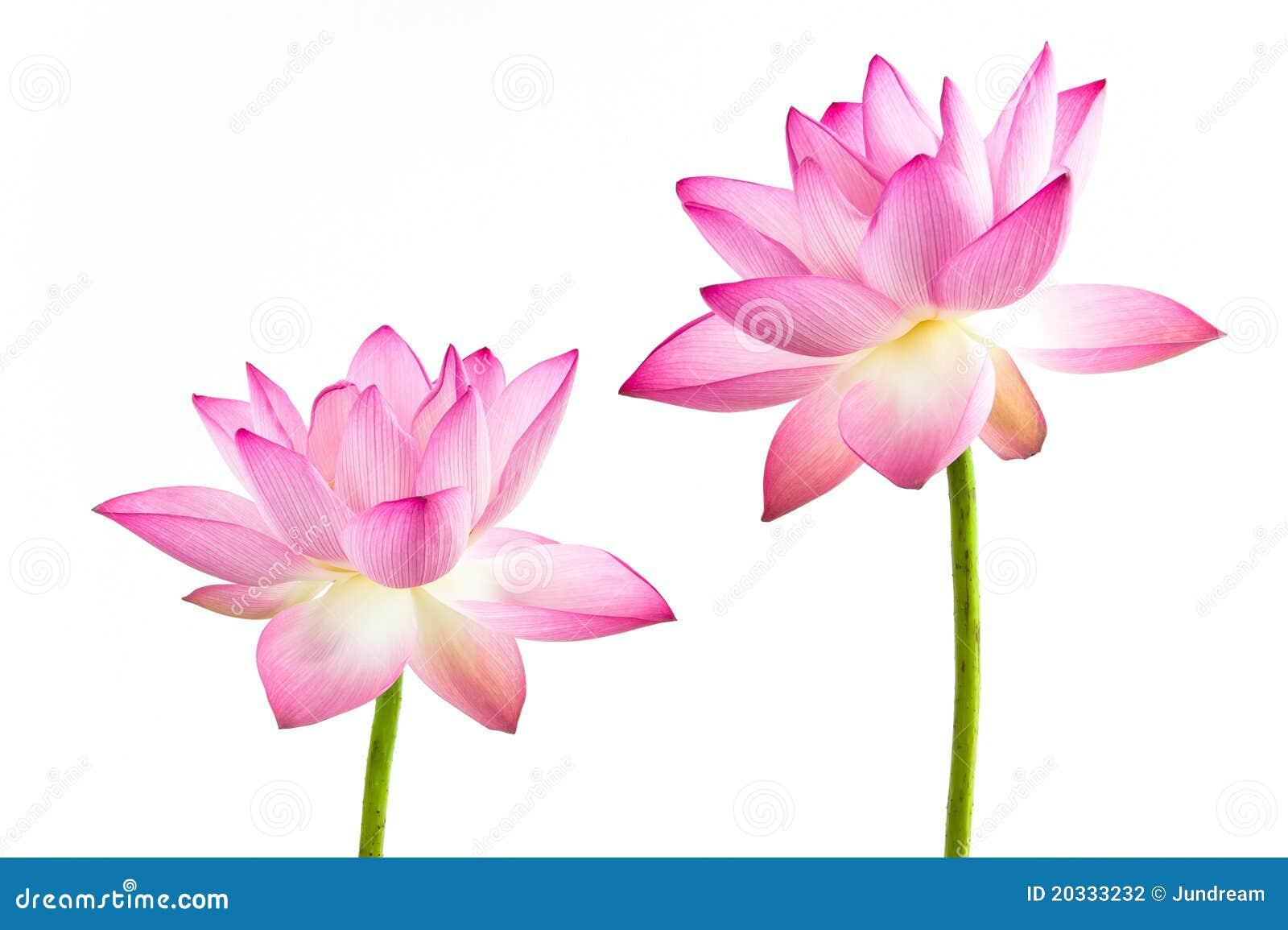 Kwiatu lelui lotosu menchii Twain woda