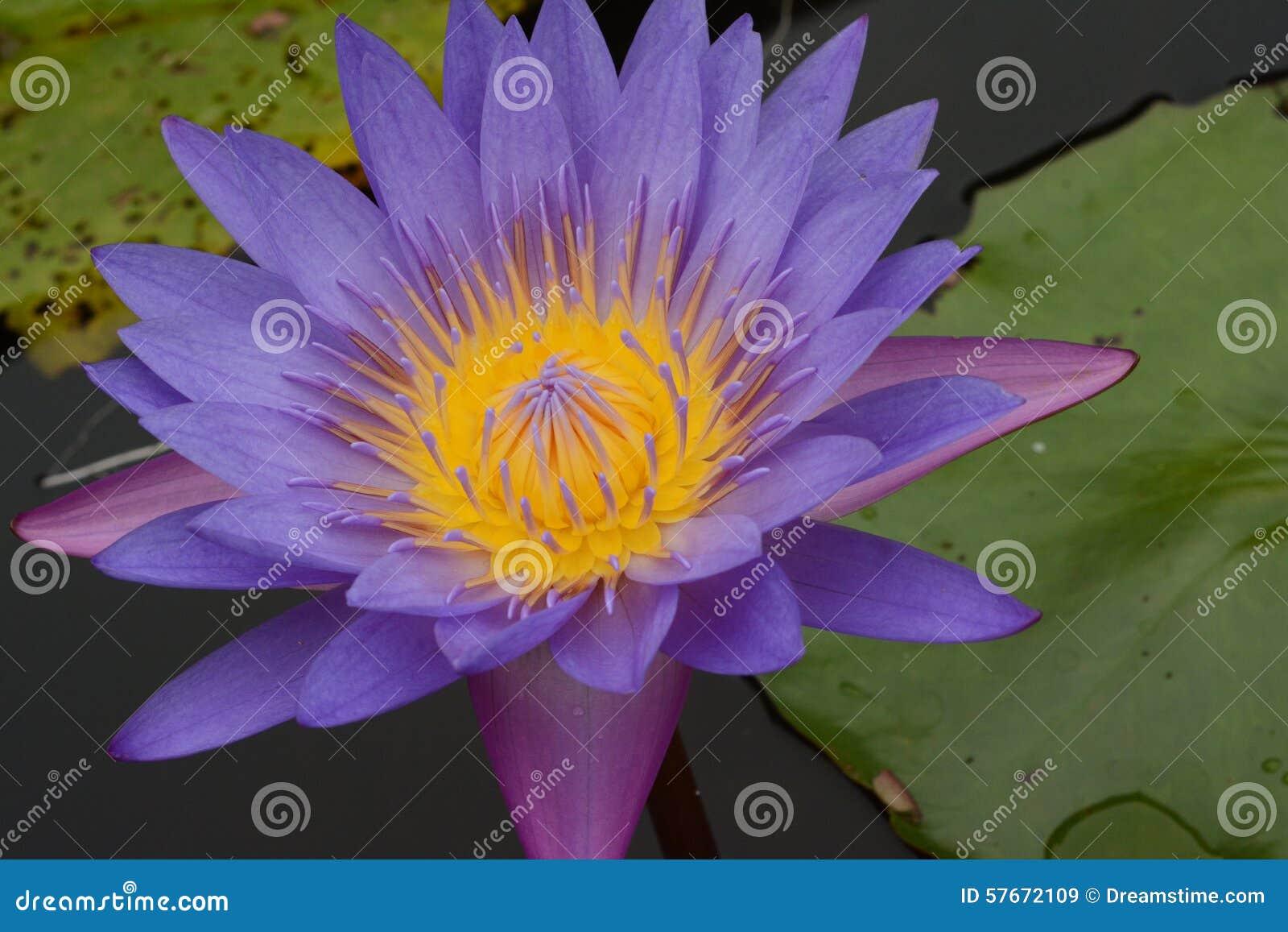 Kwiatu lotos