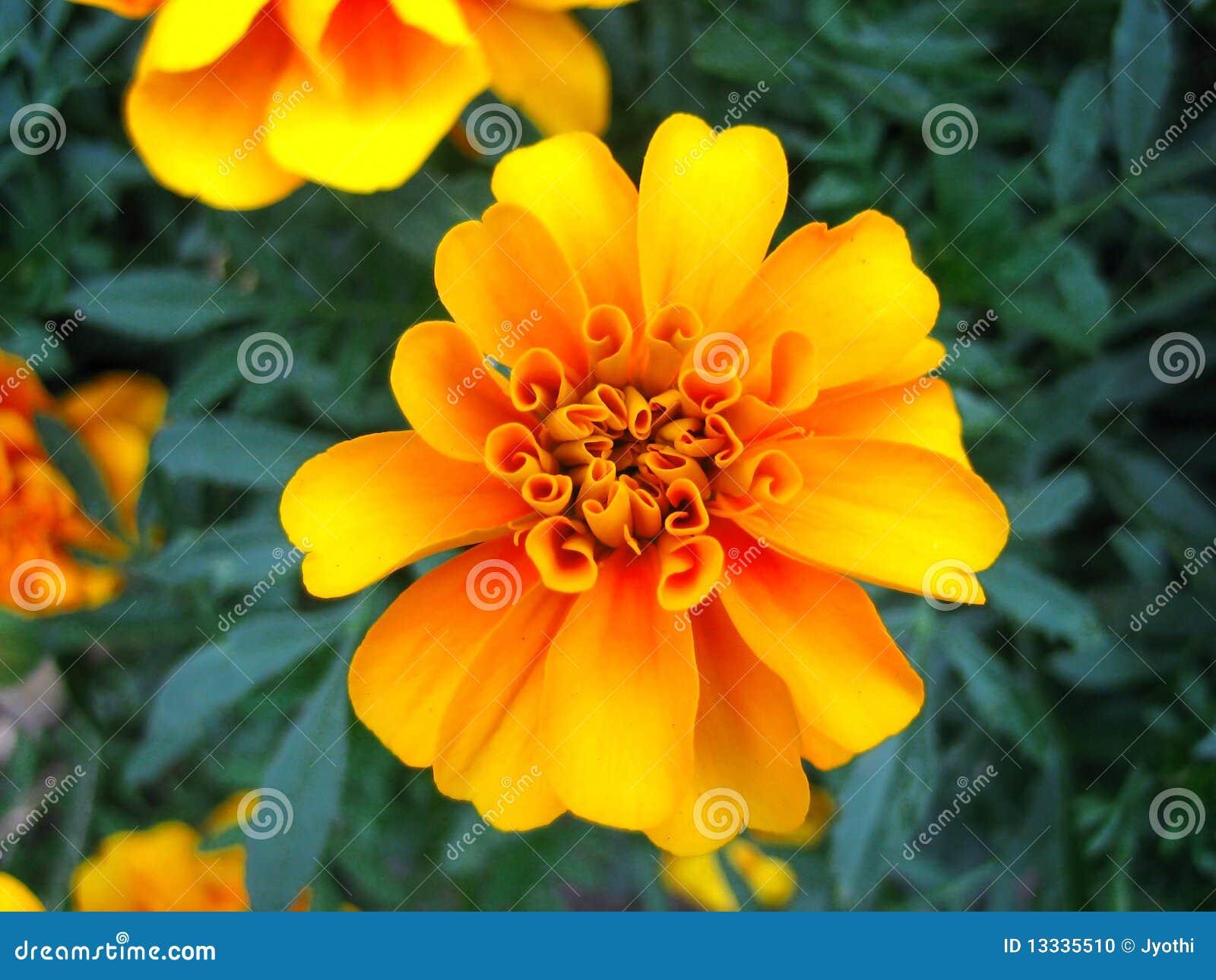 Kwiatu nagietek