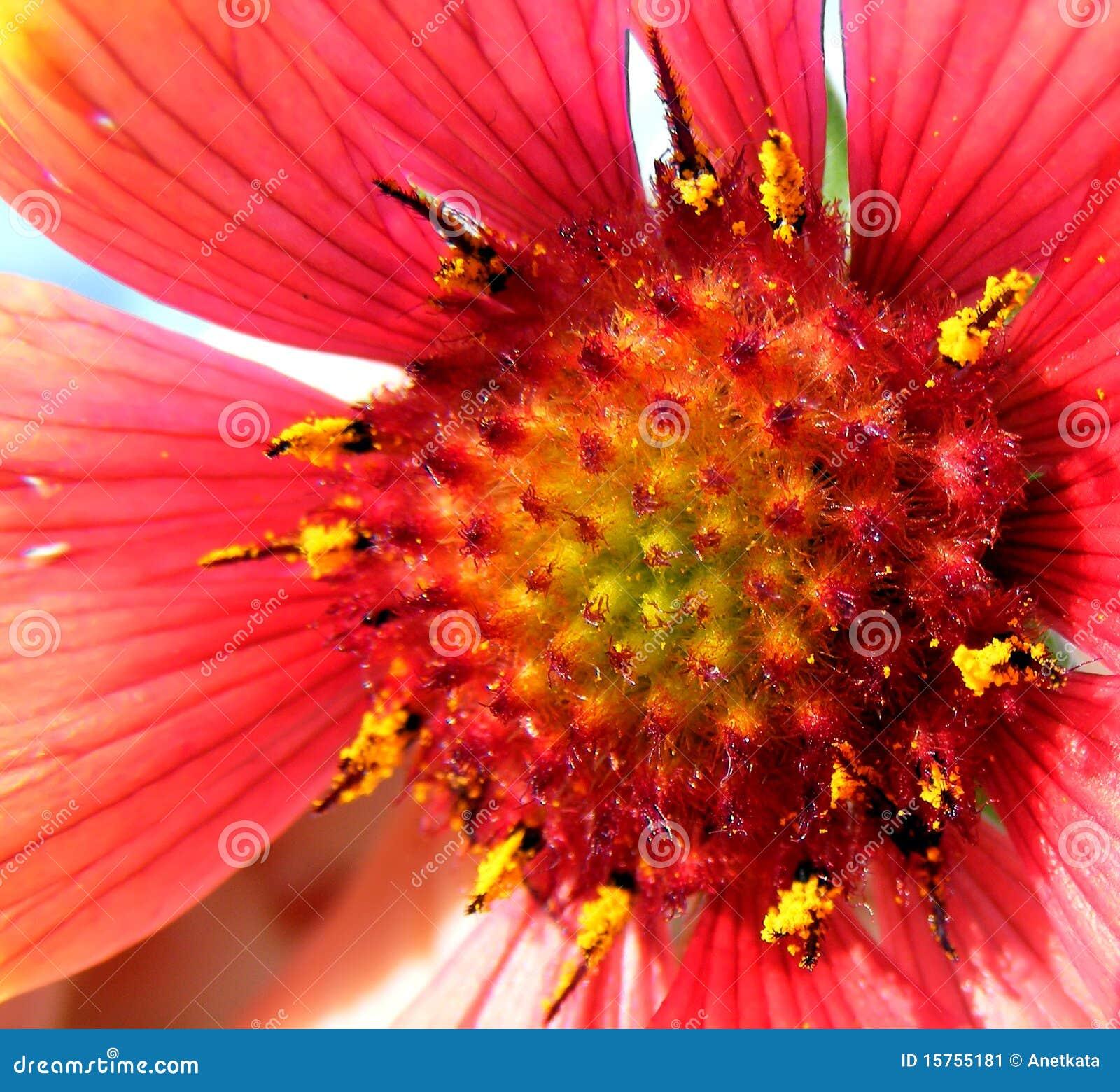 Kwiatu płatka czerwień
