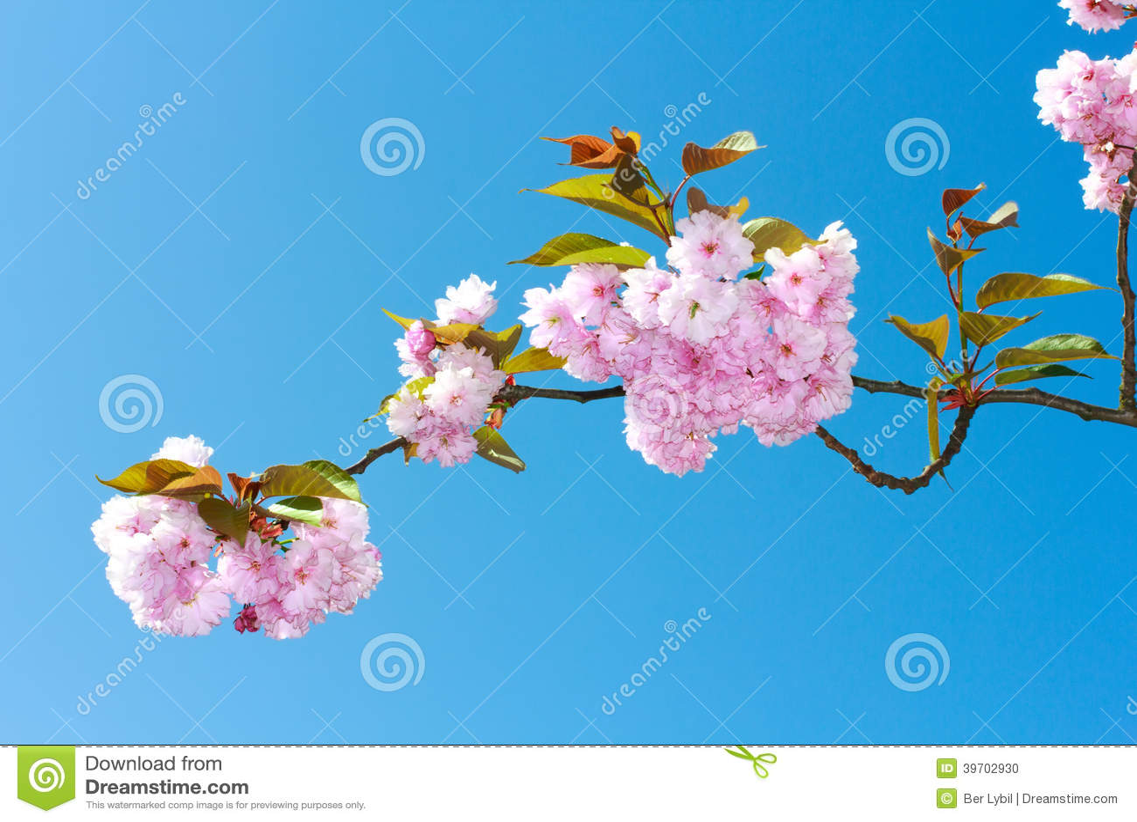 Kwiatu Sakura wiosny menchii okwitnięcia