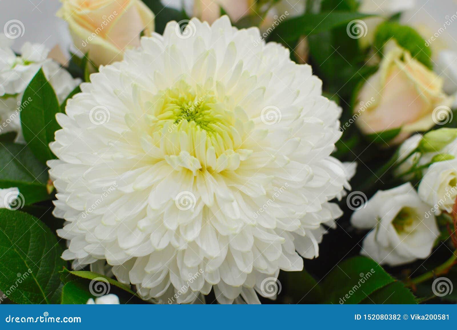 Kwiatu tło biała chryzantema