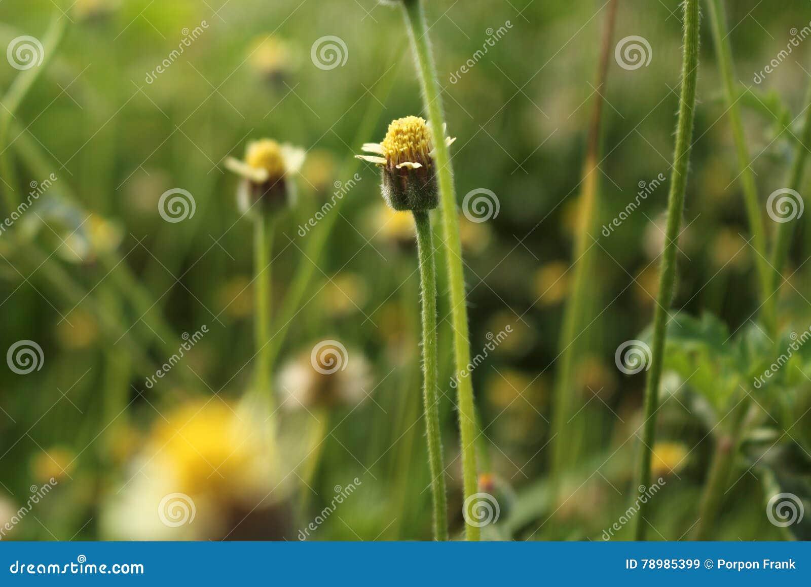Kwiatu Tridax procumbens