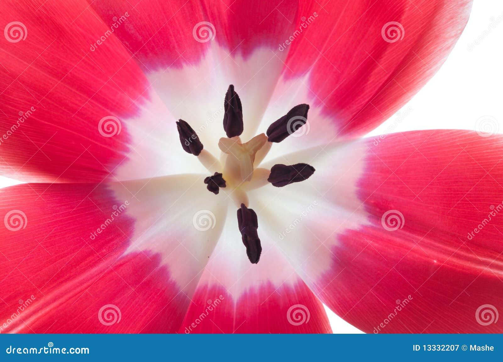 Kwiatu tulipan