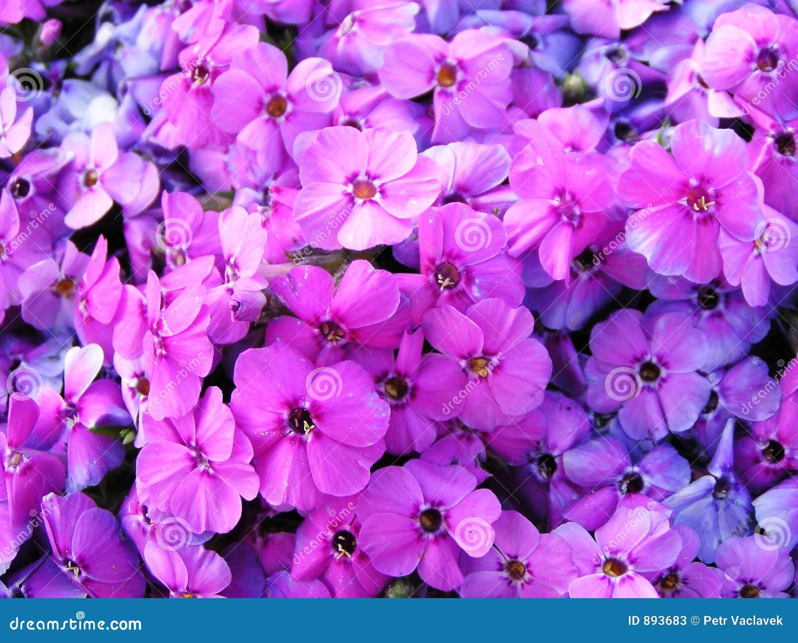 Kwiaty były pełne podobieństwo fioletowe