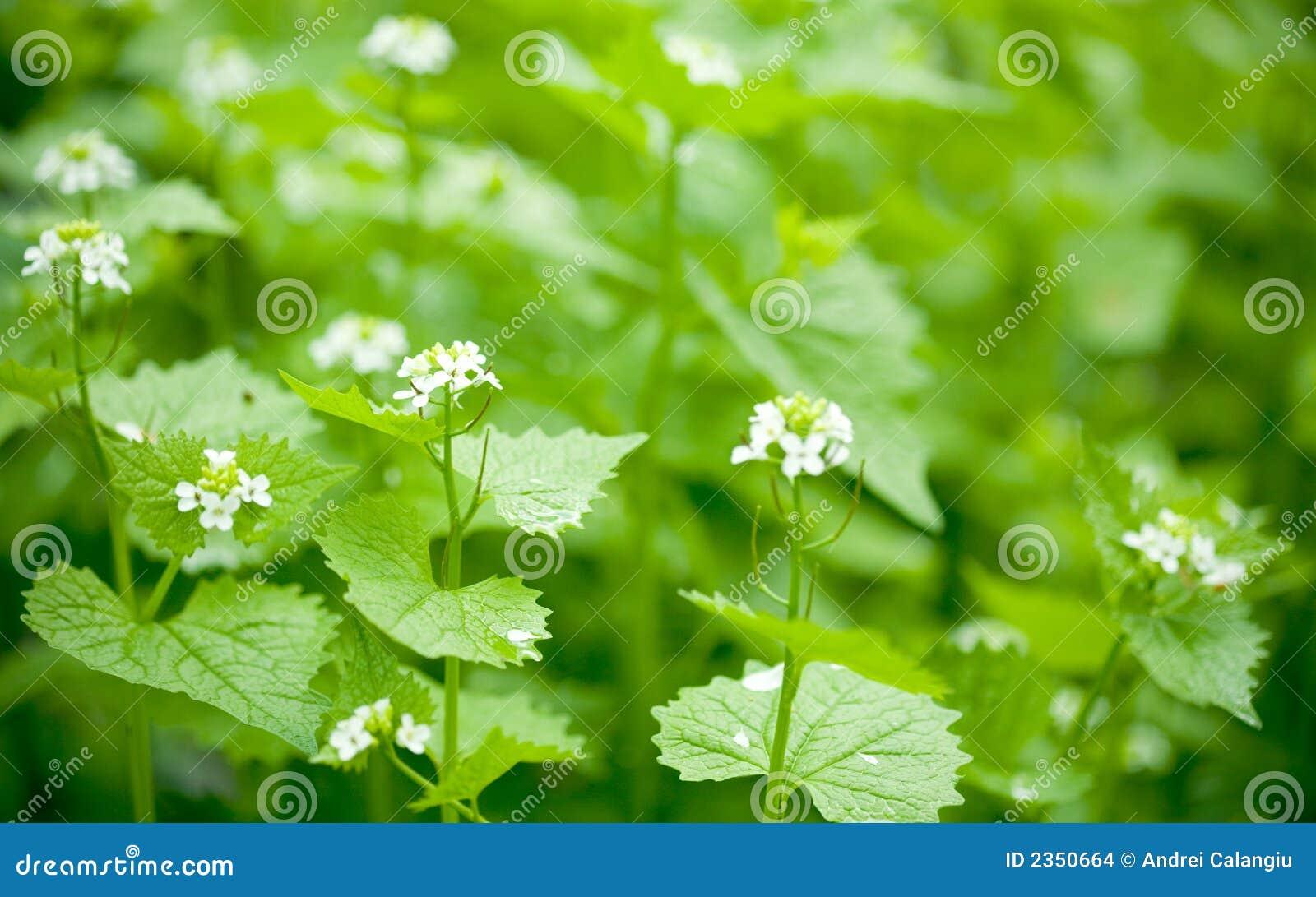 Kwiaty dof pokrzywy płytki
