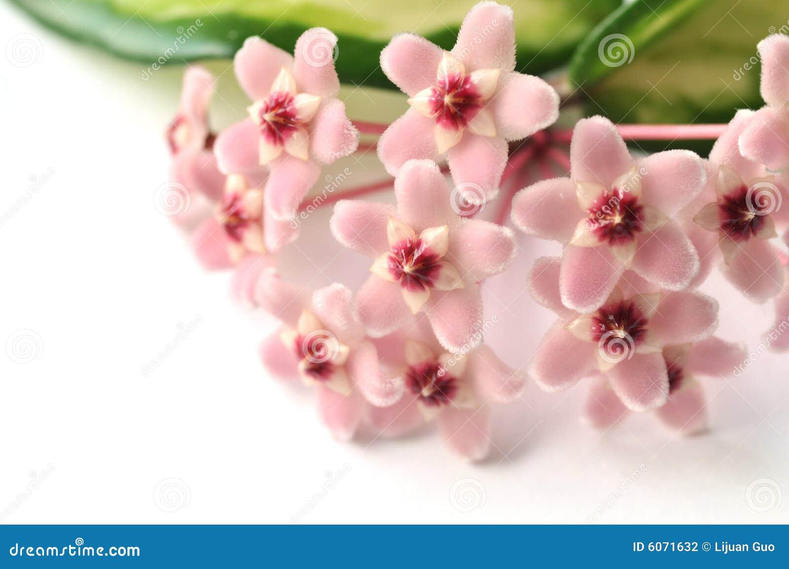 Kwiaty Hoya