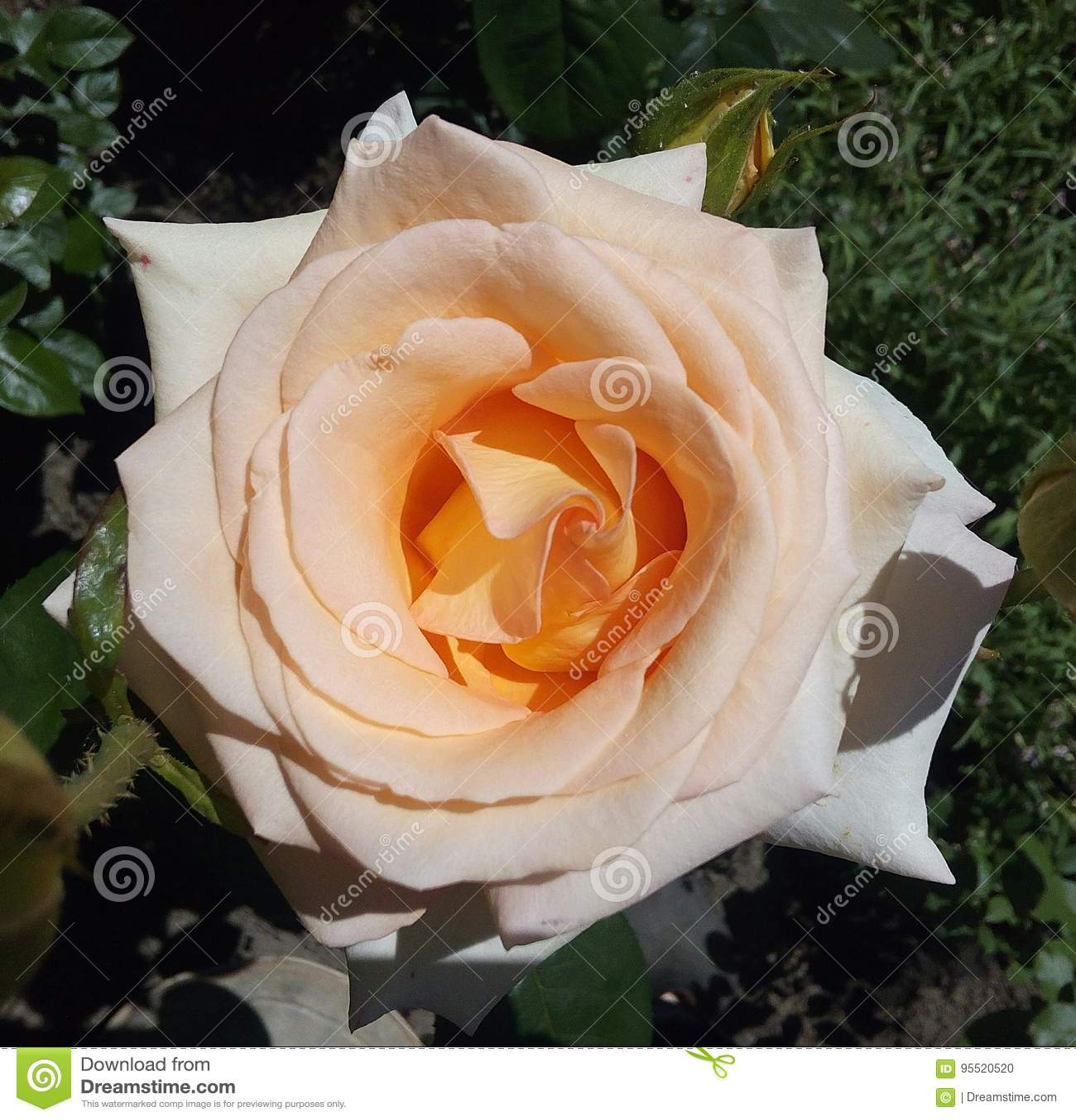 Kwiaty, kolory, wzrastali, coloured, śmietanka, roślina, makro-, wizerunek, biel, zbliżenie, menchia, tła, natura, świeżość, ziel