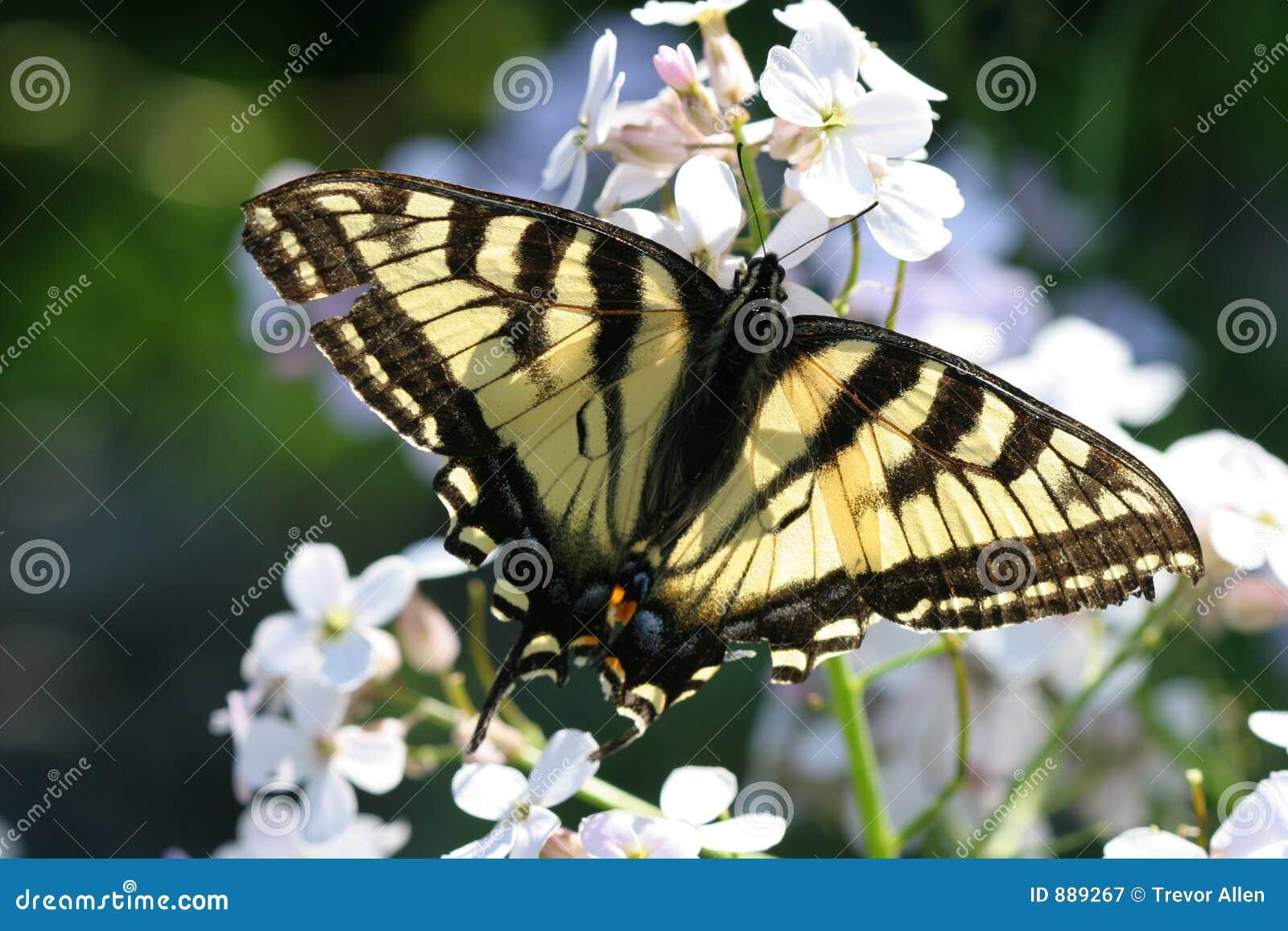 Kwiaty motylich monarchiczny white