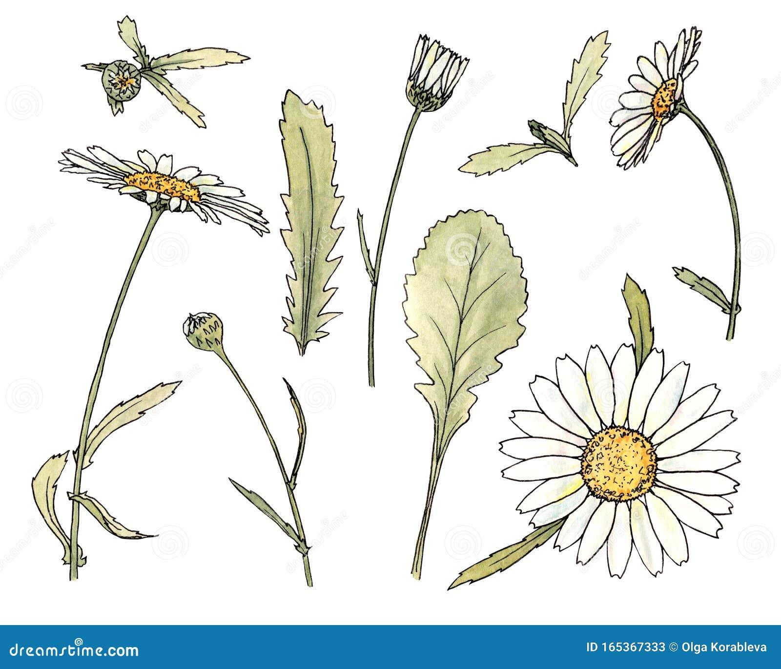 Kwiaty Polne Rumianku Ilustracji Ilustracja Zlozonej Z Ilustracje 165367333