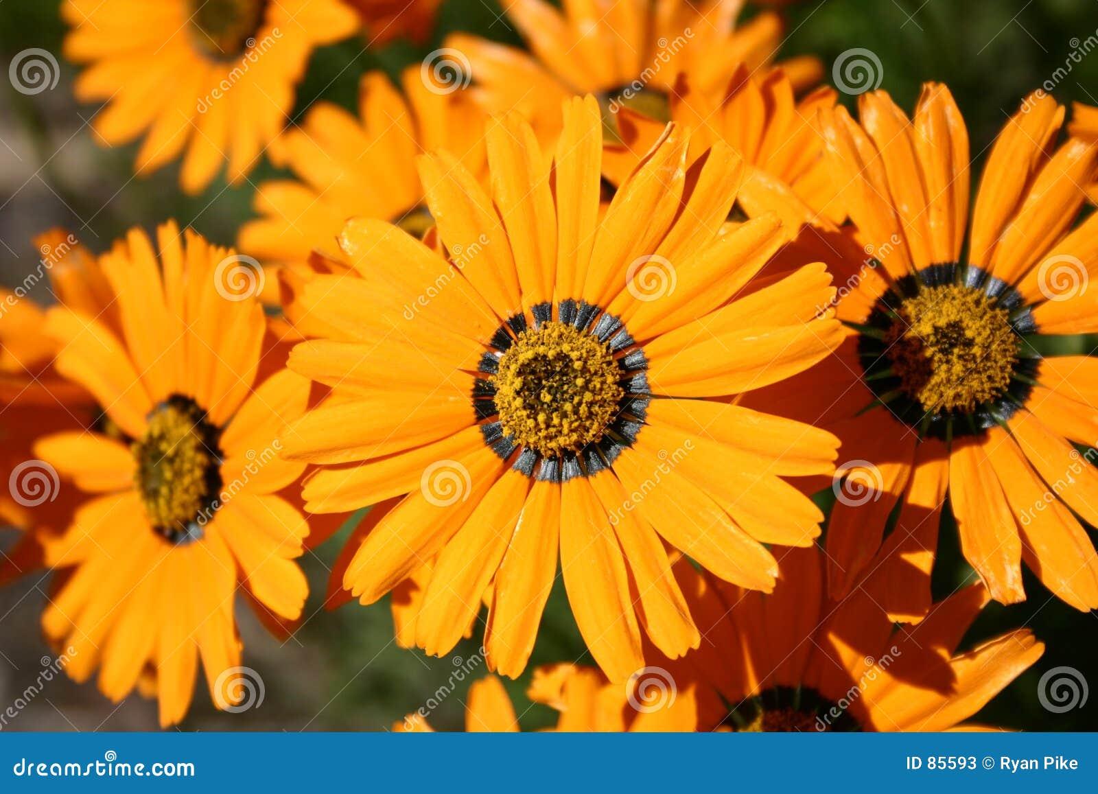 Kwiaty pomarańczy