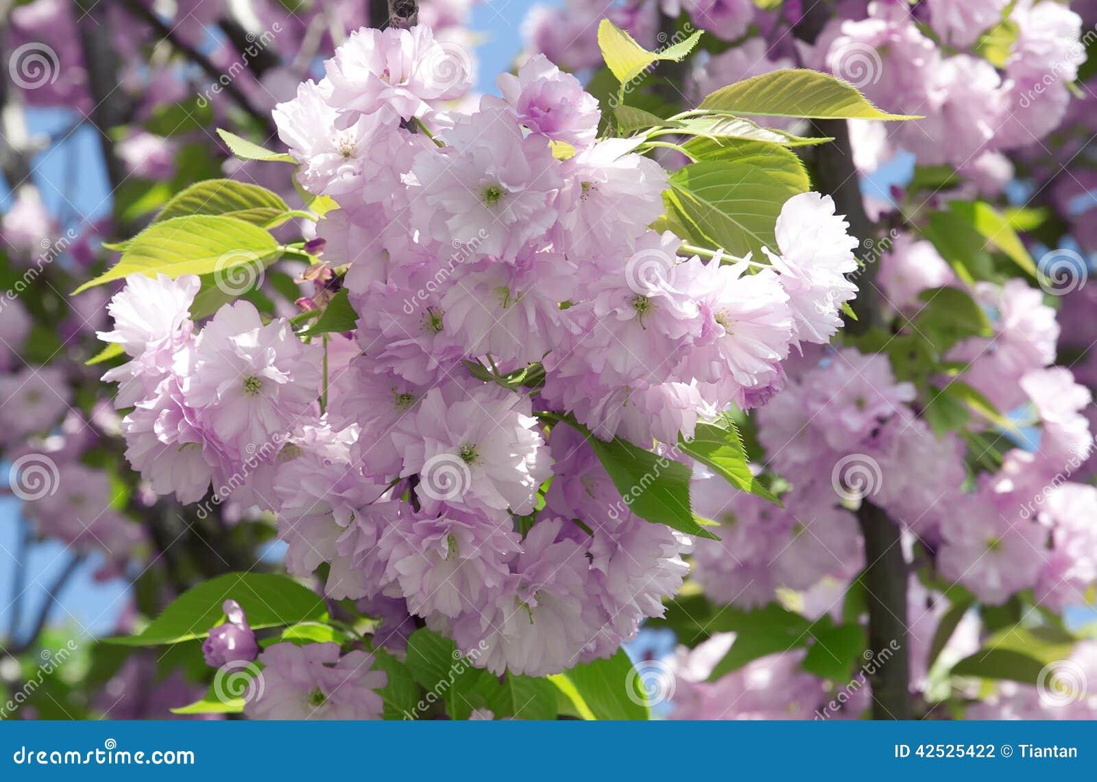 Kwiaty różowią Sakura