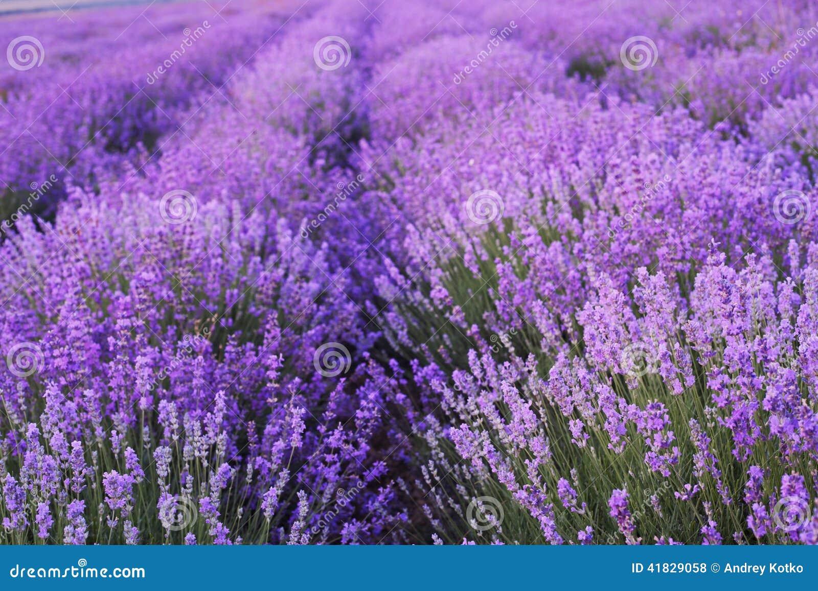Kwiaty w lawendowych polach
