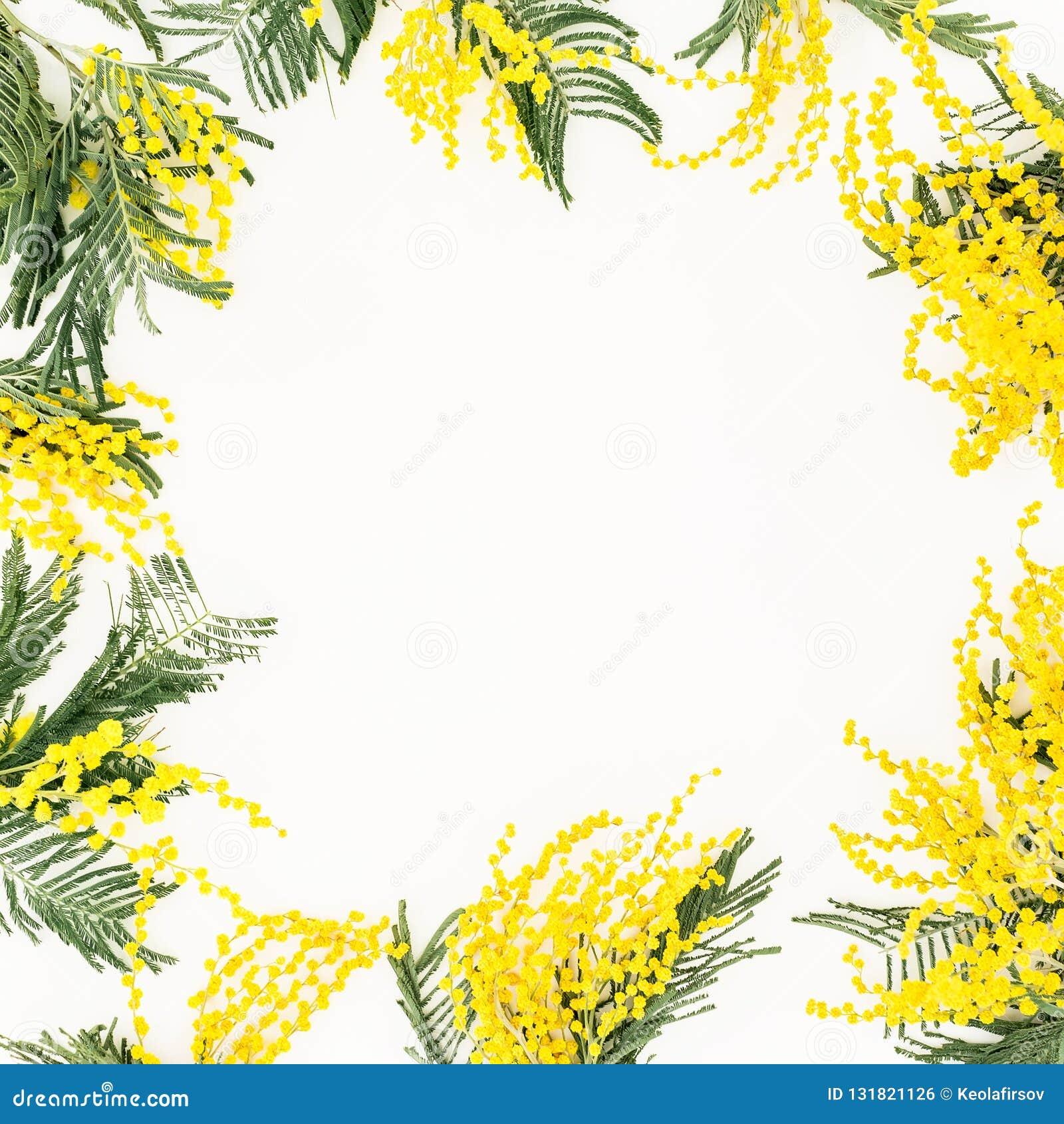Kwiecista rama żółte mimozy rozgałęzia się na białym tle Kwiaty kobieta dzień Mieszkanie nieatutowy, odgórny widok